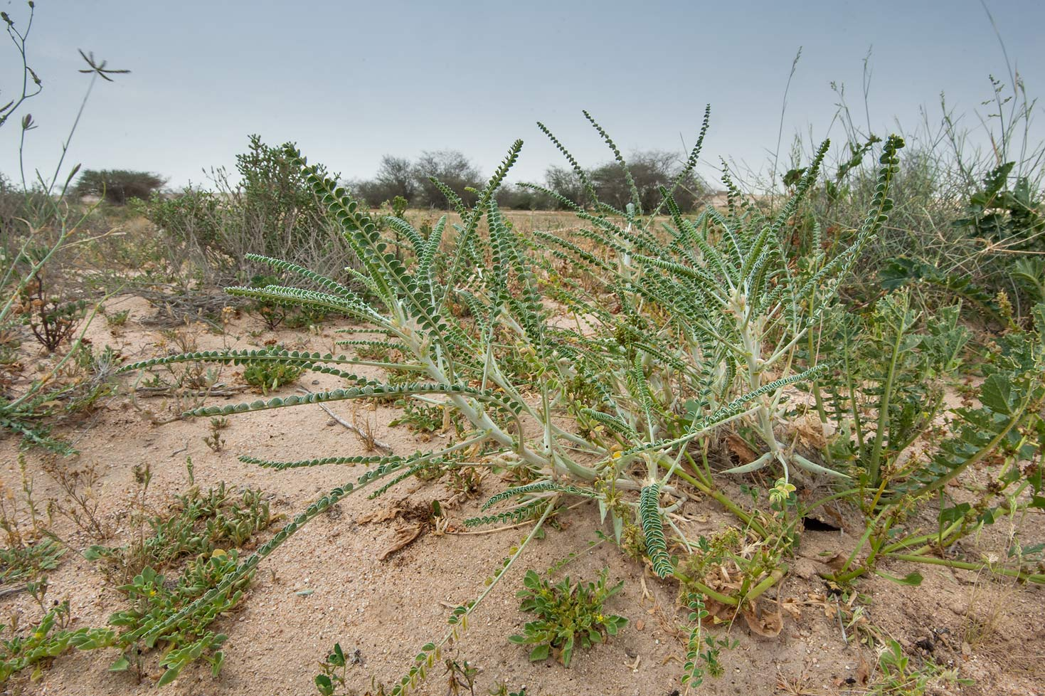 Astragalus sieberi on periphery of Green Circles...Irkaya) Farms. South-western Qatar