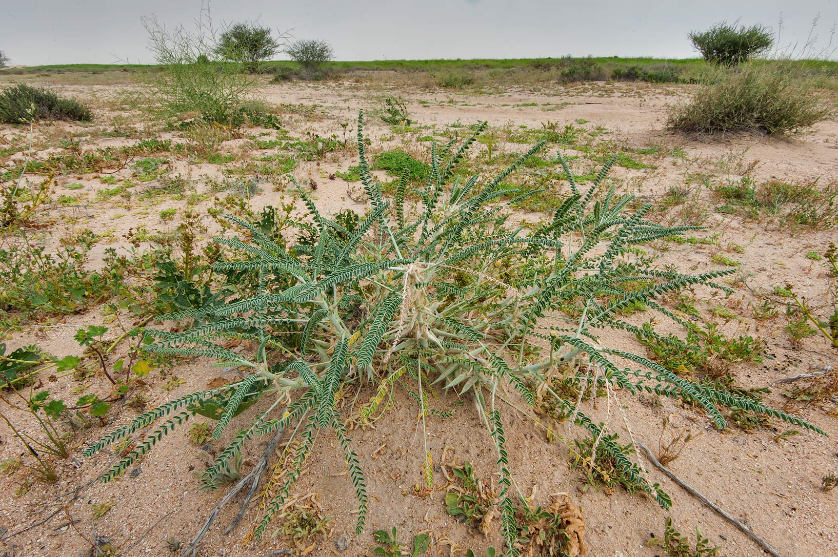 Ground view of plant of Astragalus sieberi on...Irkaya) Farms. South-western Qatar