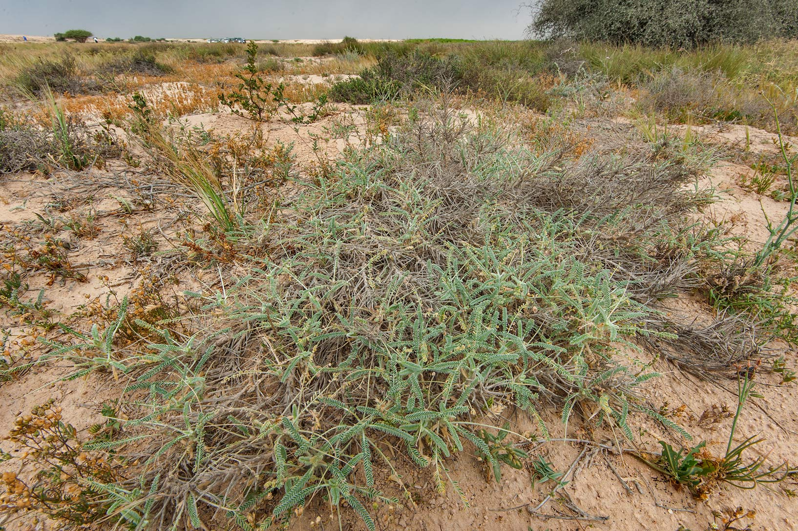 Half dry plant of Astragalus sieberi in a...Irkaya) Farms. South-western Qatar