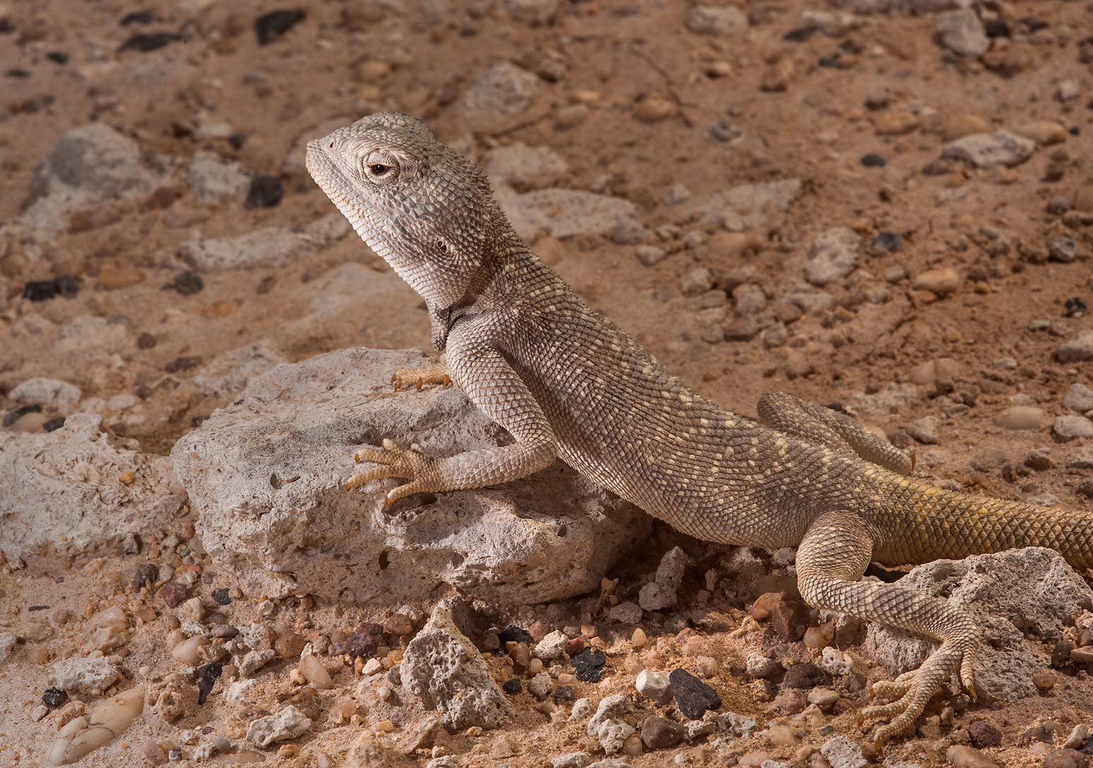 Yellow-spotted Agama (Trapelus flavimaculatus...Irkaya) Farms. South-western Qatar