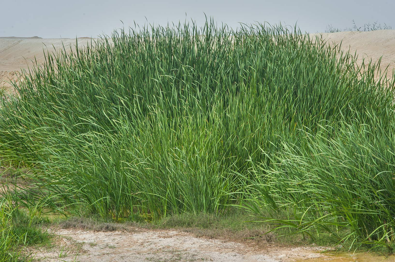 Southern cattail (Typha domingensis) near a pond...Irkaya) Farms. South-western Qatar