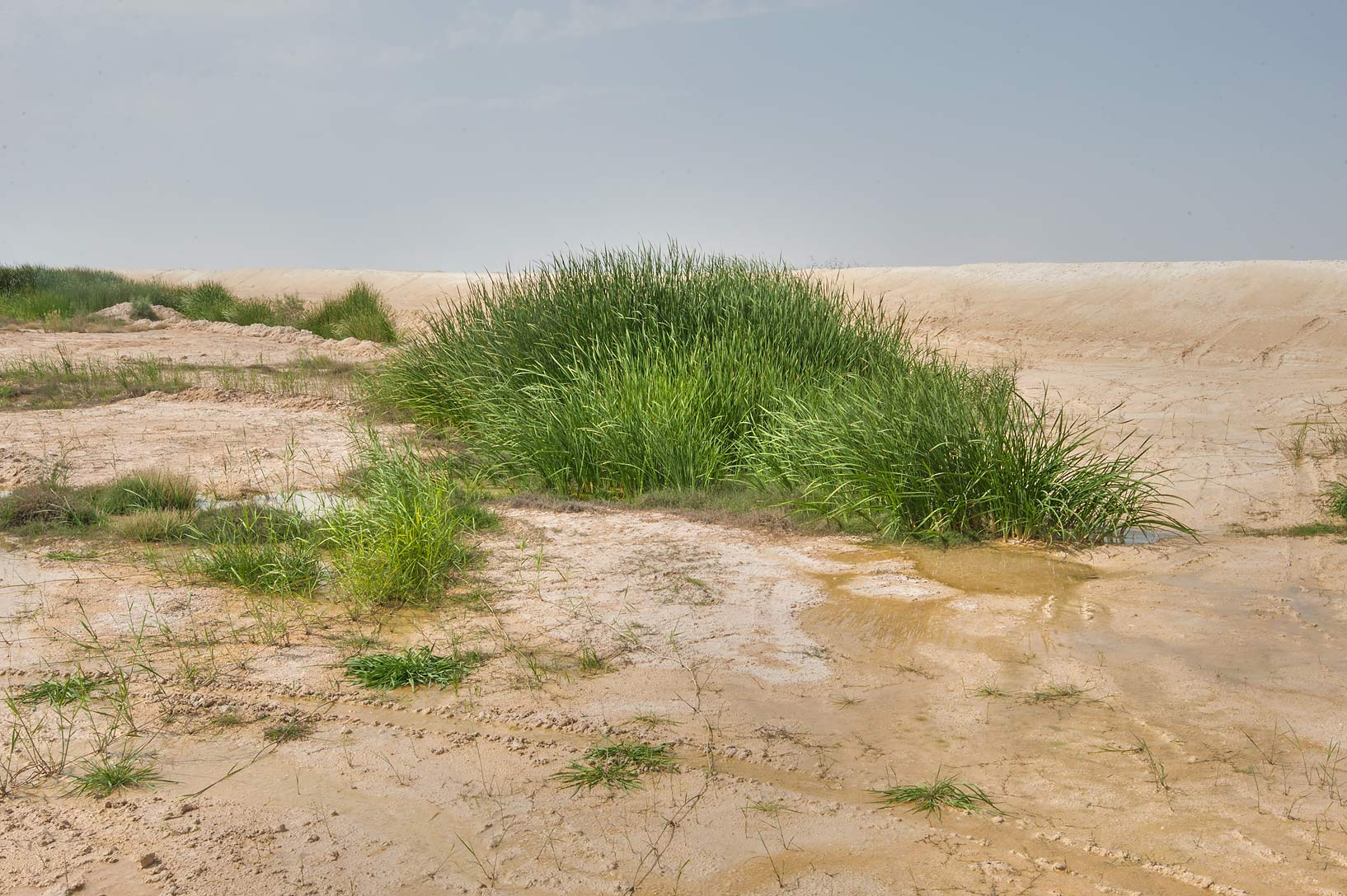 Stand of southern cattail (Typha domingensis...Irkaya) Farms. South-western Qatar