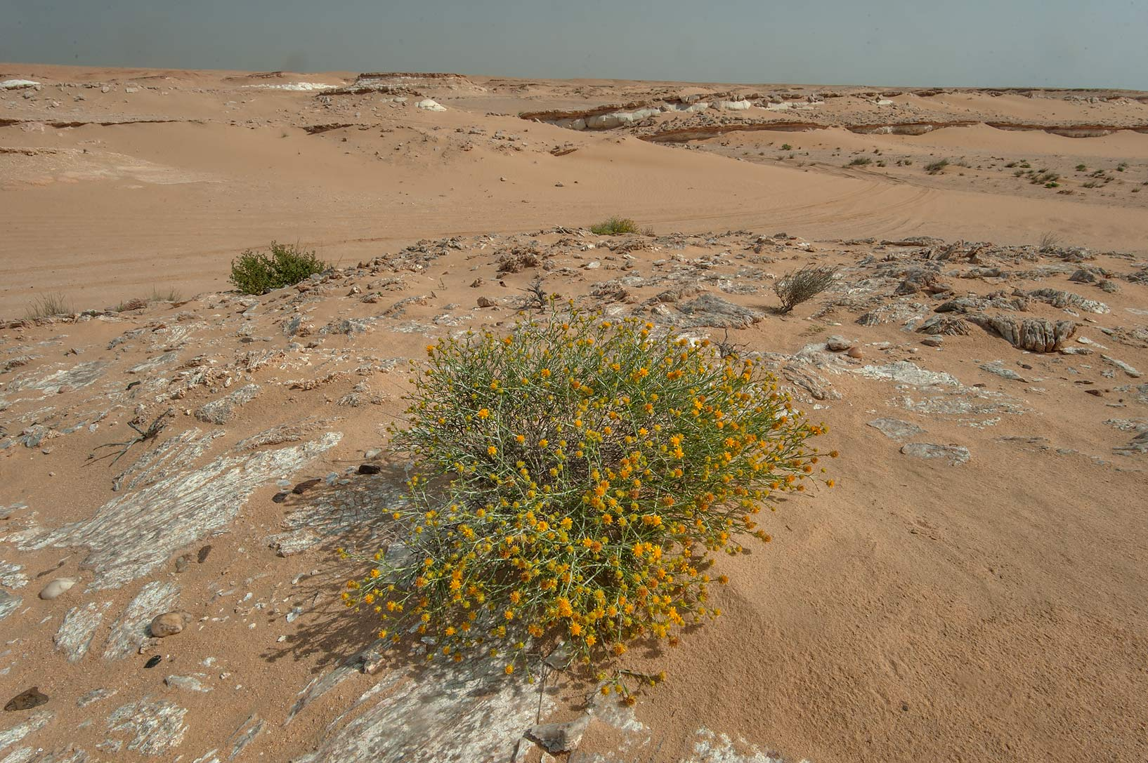 Blooming Arfaj (Rhanterium epapposum) growing on...an Nakhsh) in south-western Qatar