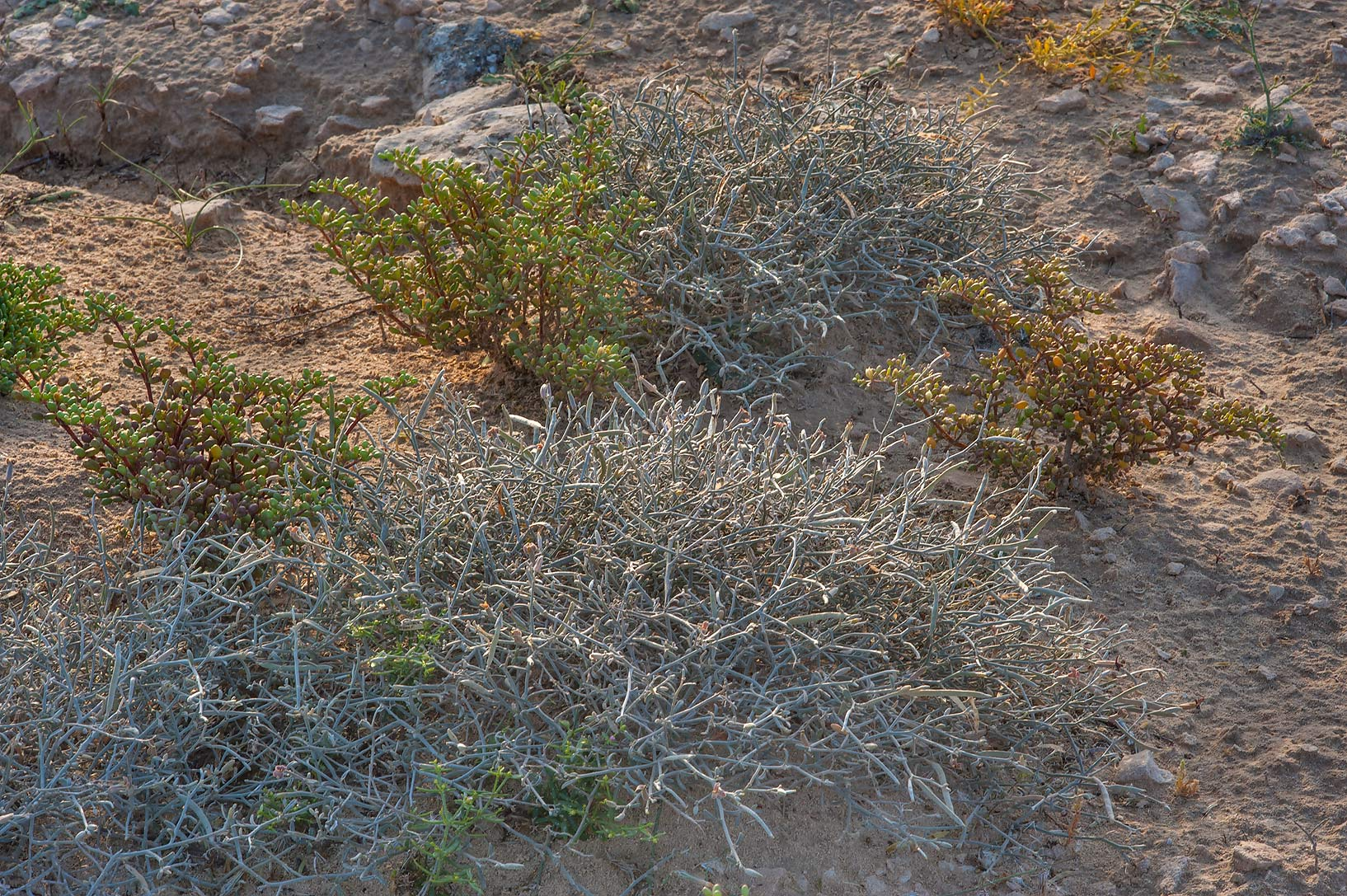 Grey bushes of Farsetia heliophila on a rocky ridge of Jebel Fuwairit. Northern Qatar
