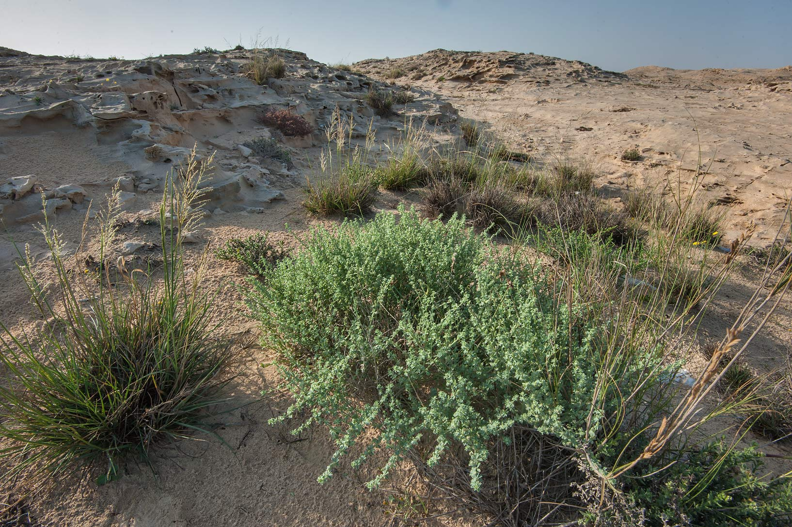 Habitat of Lotus garcinii plants on a rocky ridge of Jebel Fuwairit. Northern Qatar