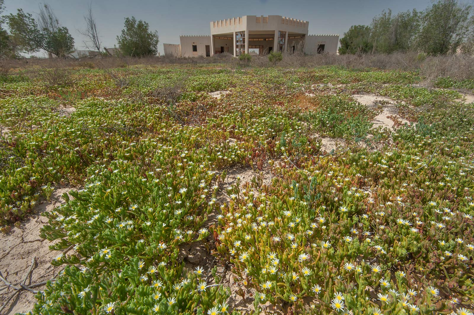 Carpet of blooming Egyptian Fig-marigold...of Ras Laffan farms. Northern Qatar