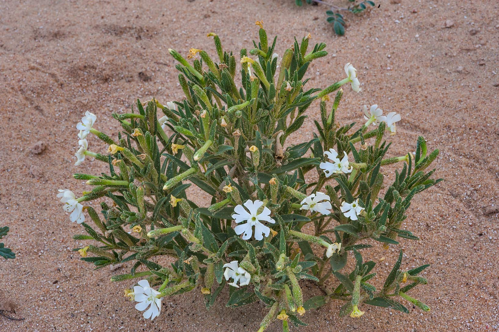 Desert Campion (Silene villosa, local name terba...of Khashem Al Nekhsh. Southern Qatar