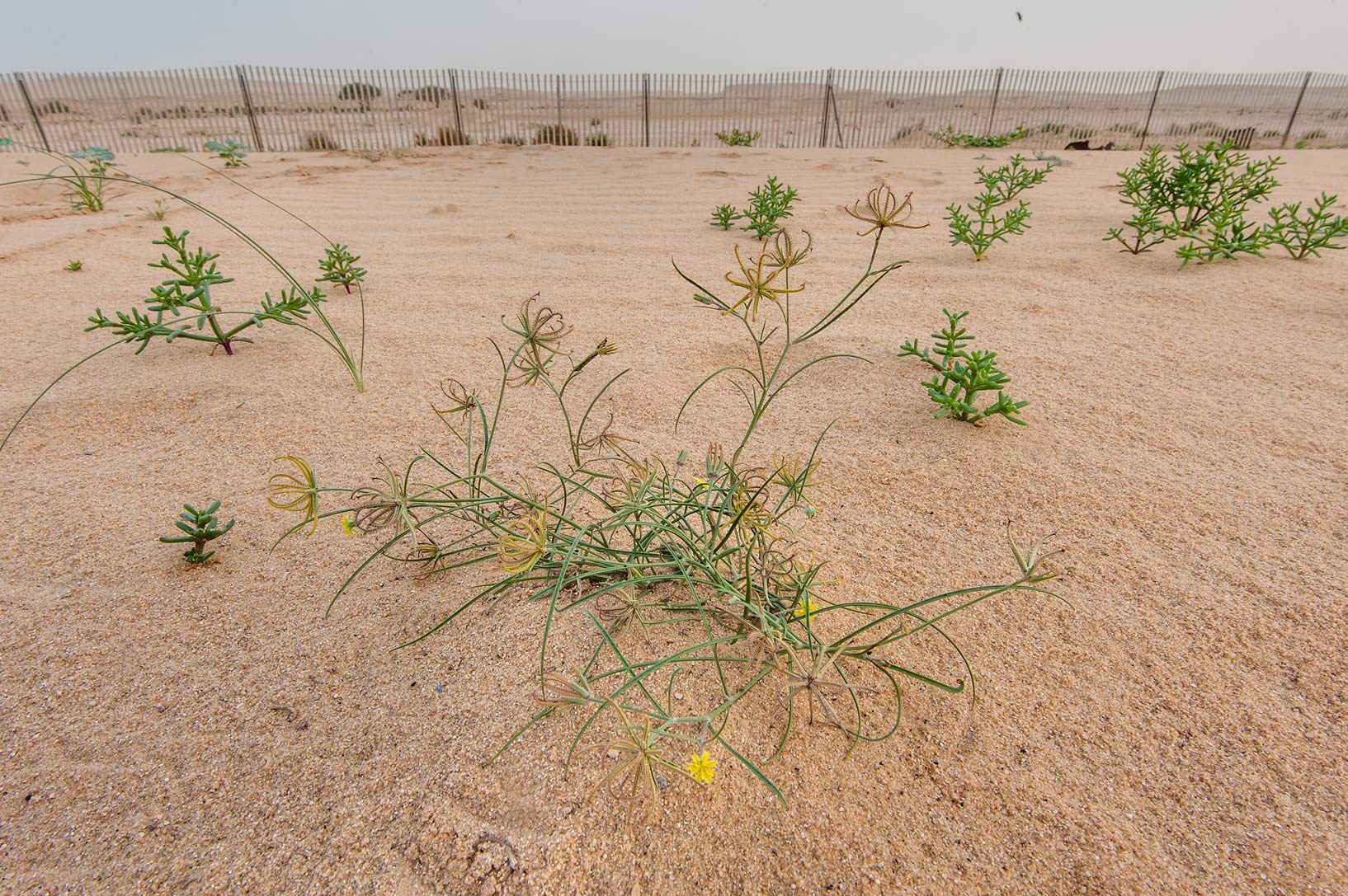 Rare plant Koelpinia linearis near sand fence on...of Khashem Al Nekhsh. Southern Qatar