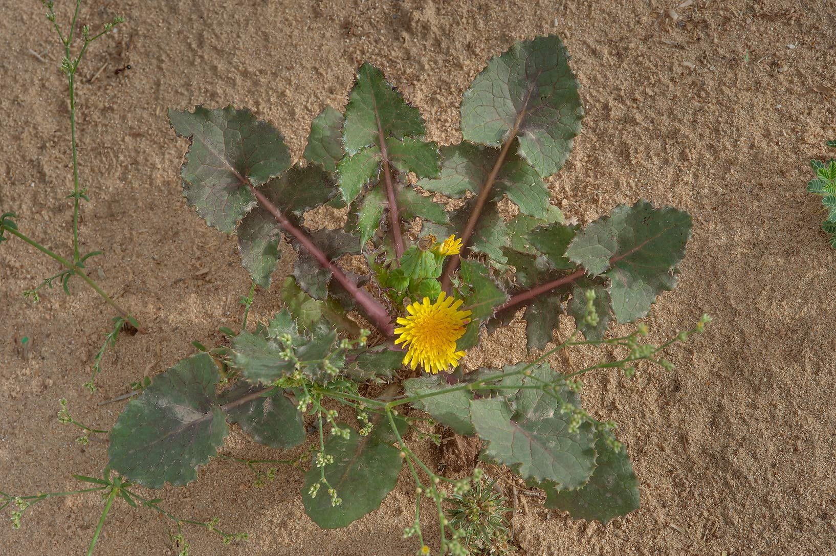 Smooth sow thistle (Sonchus oleraceus) grown near...of Khashem Al Nekhsh. Southern Qatar