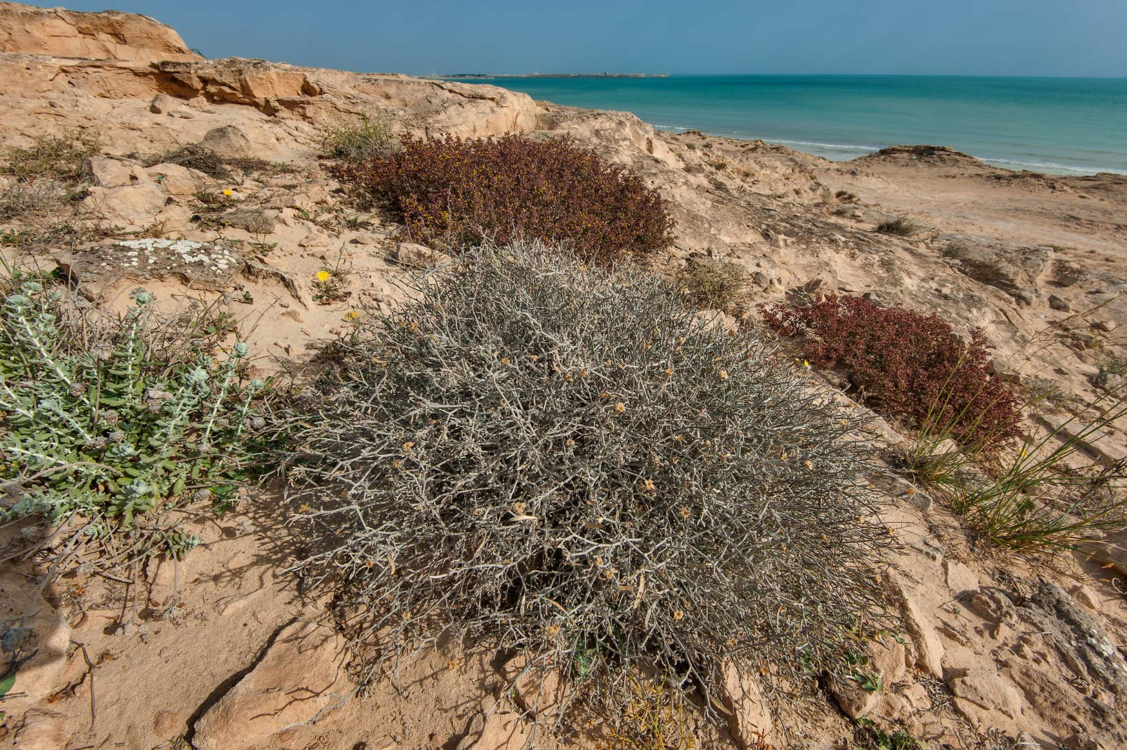 Large blooming plant of Farsetia heliophila on...of Jebel Fuwairit. Northern Qatar