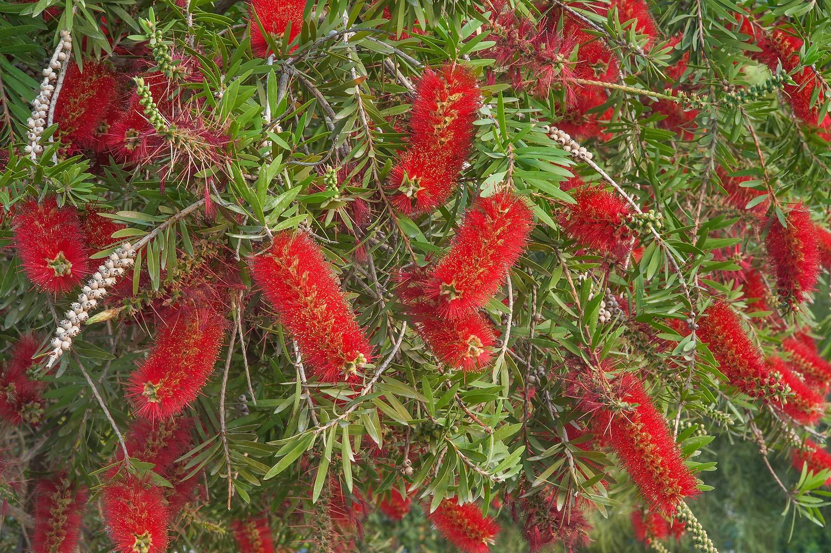 Flowers of weeping bottlebrush (Callistemon...Park at Al Markhiya St.. Doha, Qatar