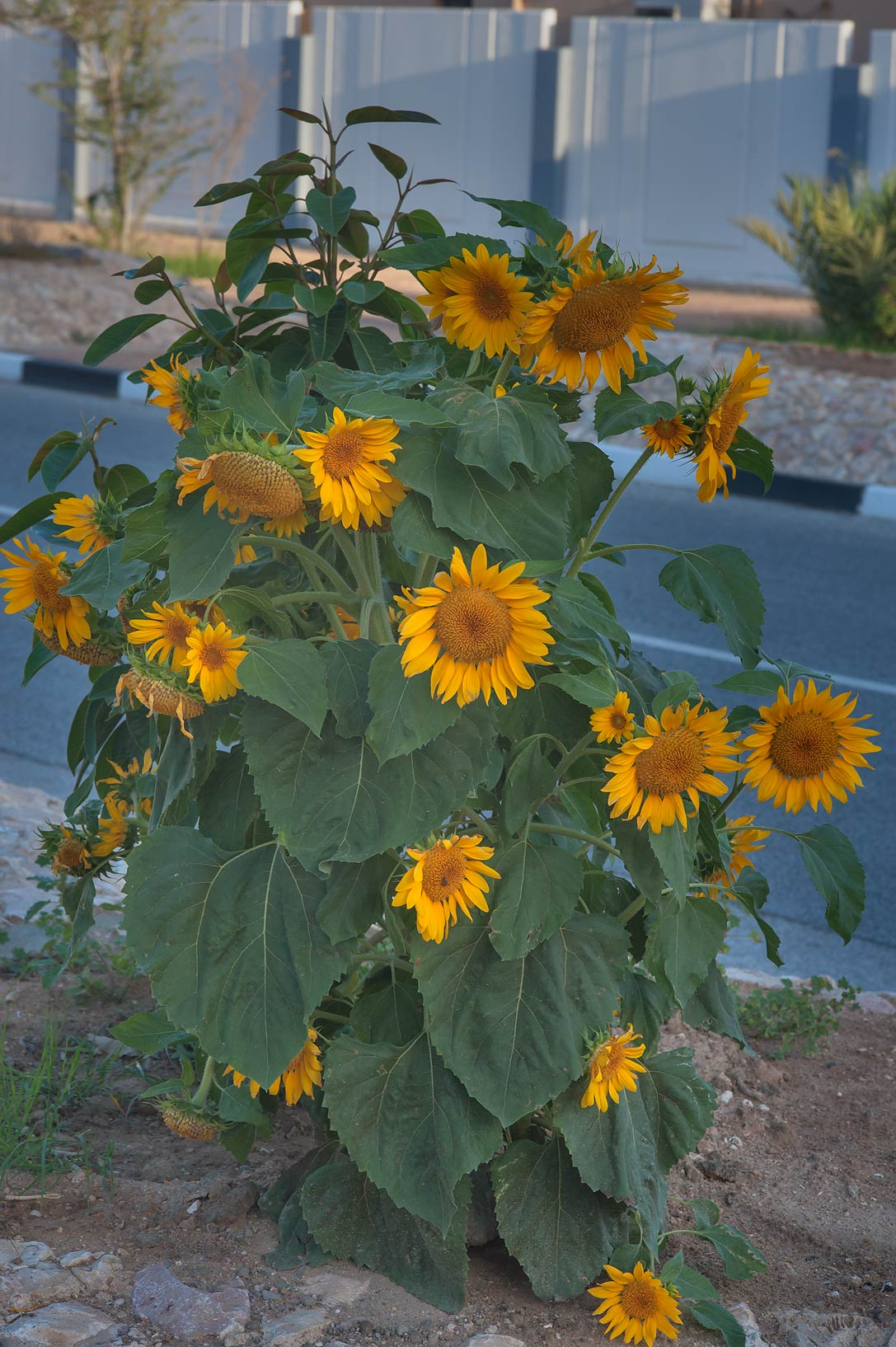 Common sunflower (Helianthus annuus) in Onaiza area. Doha, Qatar