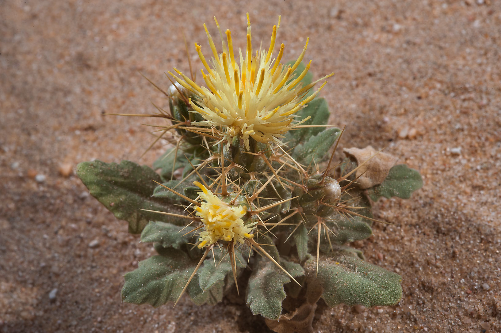 Small blooming plant of Centaurea sinaica (local...Khashm an Nakhsh). South-western Qatar