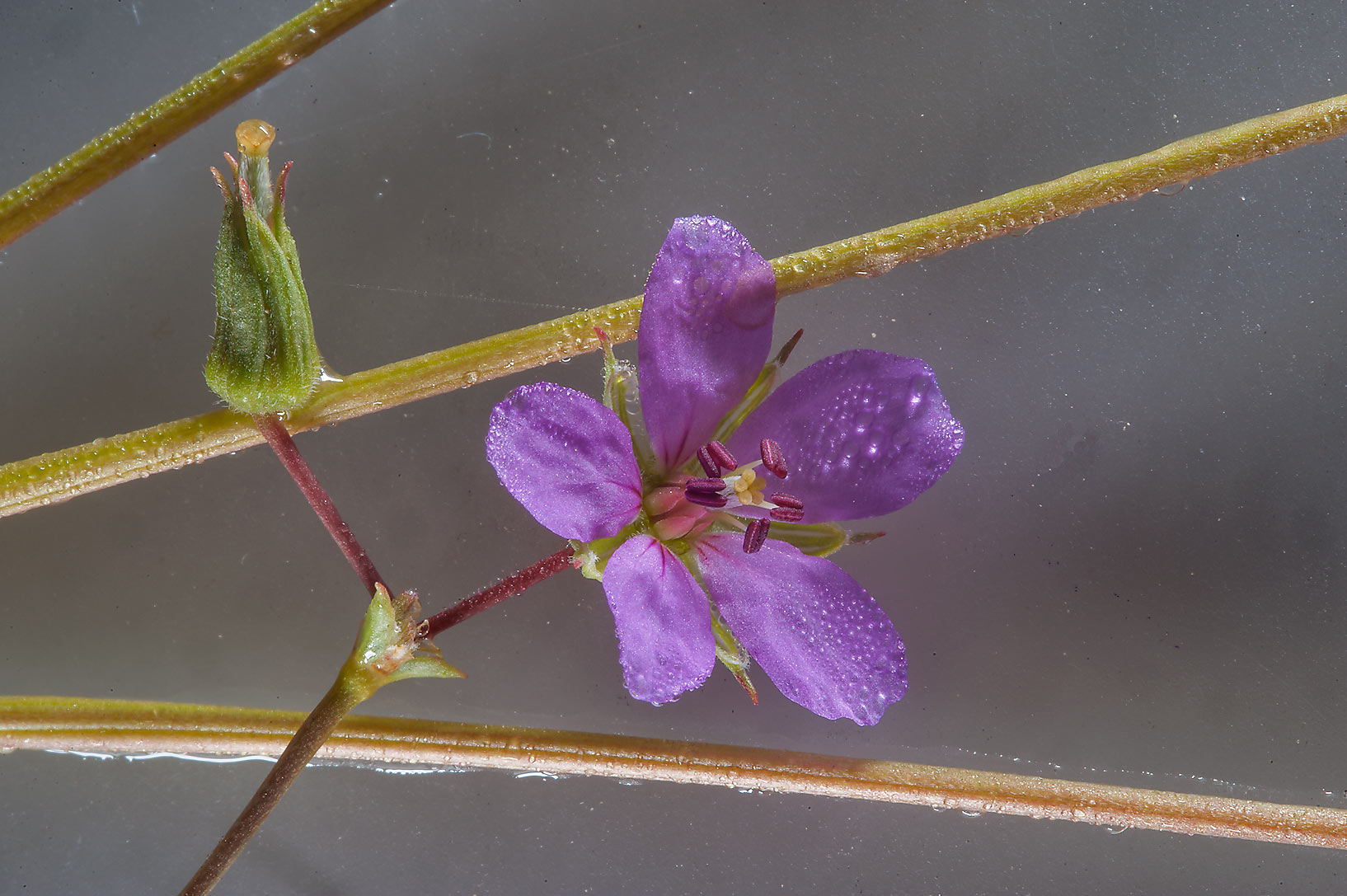 Flower of storkbill (Erodium glaucophyllum) on a...on north-eastern coast. Qatar