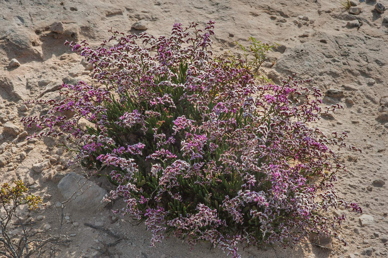 Sea lavender (Qetaif, Limonium axillare) near...on north-eastern coast. Qatar