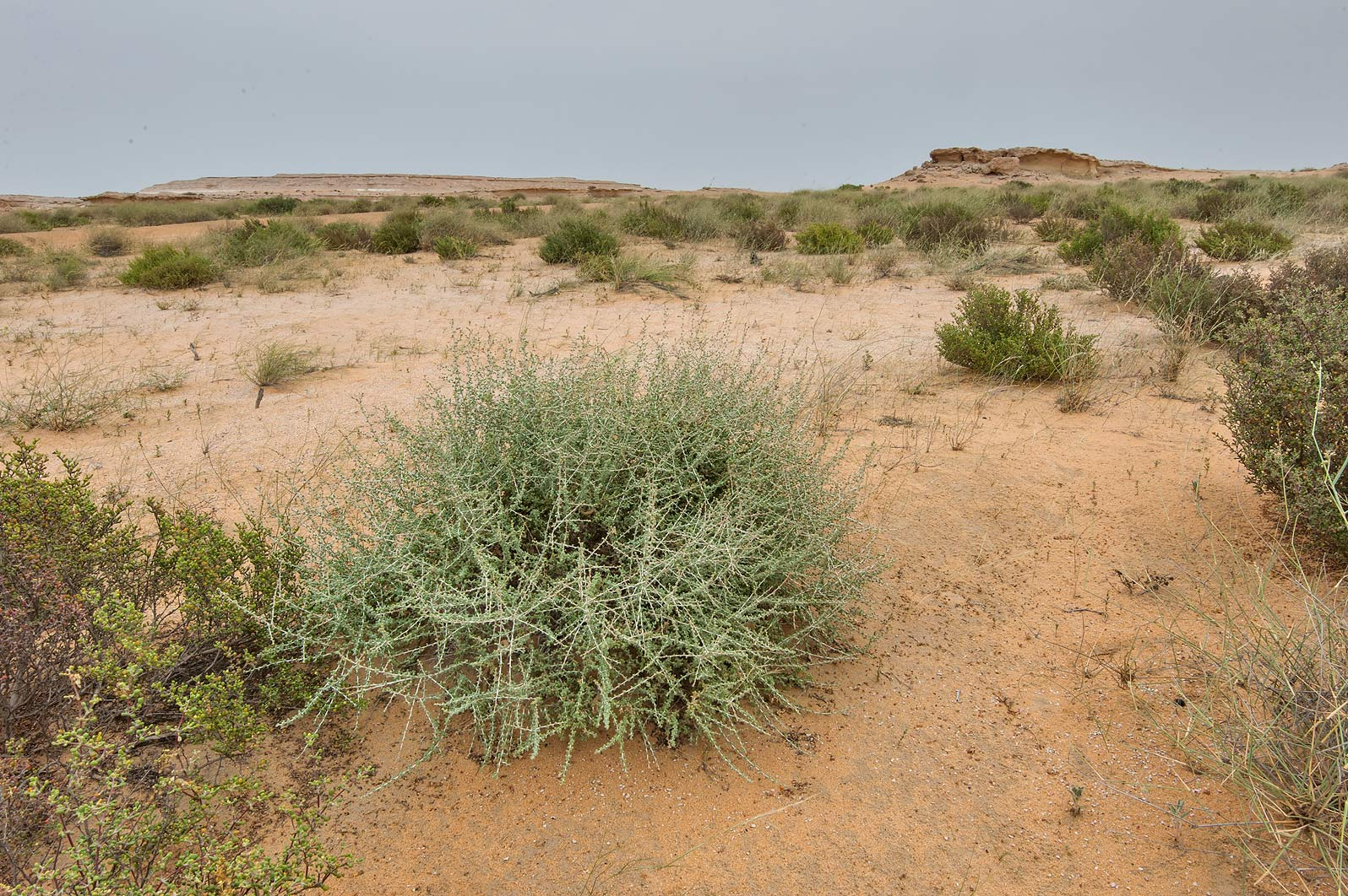 Greyish bush of Traganum nudatum (local name...Reserve near Abu Samra. Southern Qatar