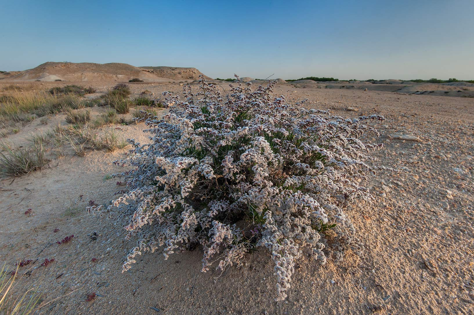 White flower bracts of sea lavender (Qetaif...Jazirat Bin Ghanim). Al Khor, Qatar