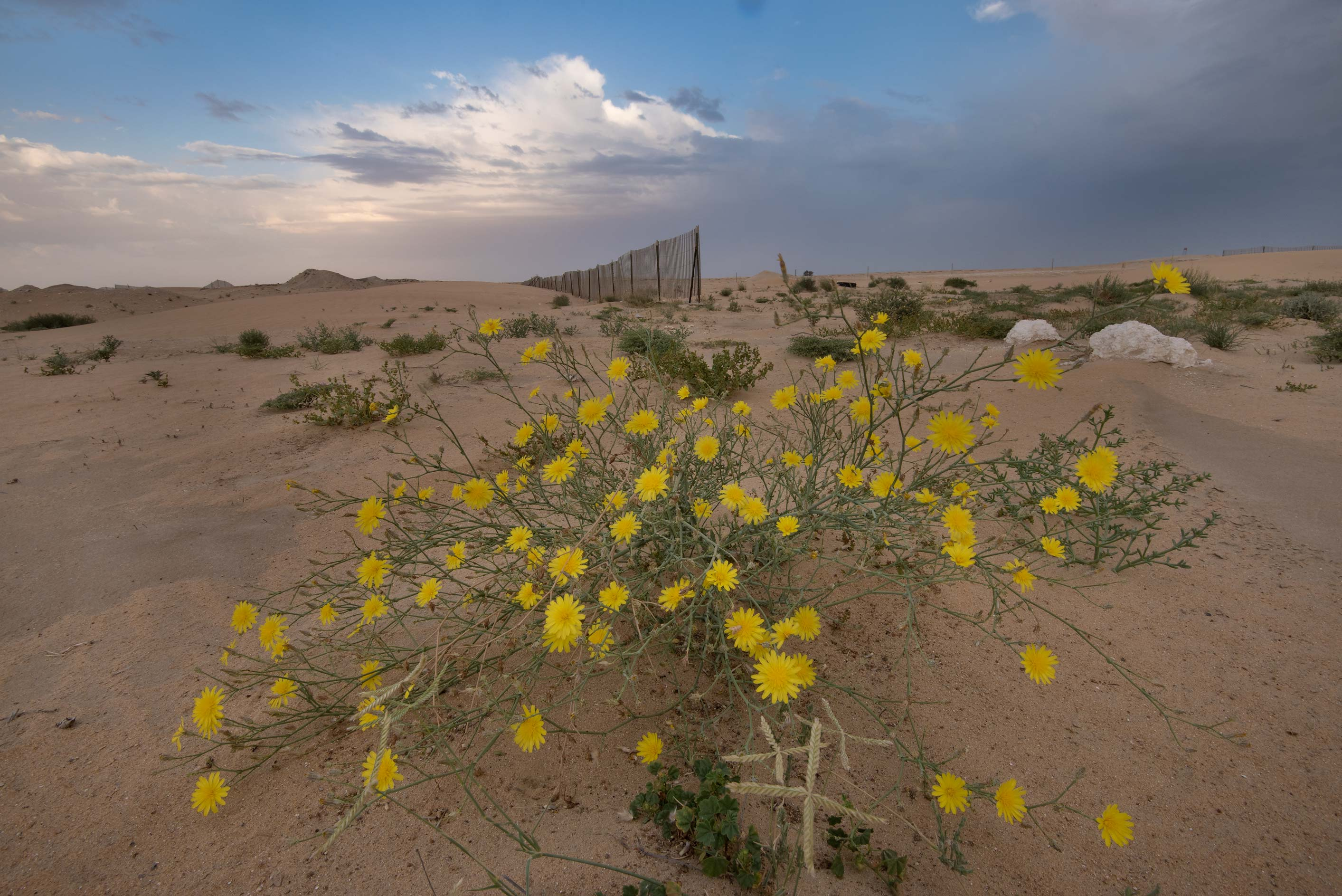 Launaea mucronata (local name Huwa ghazal) in...in area of Khashem Al Nekhsh. Qatar