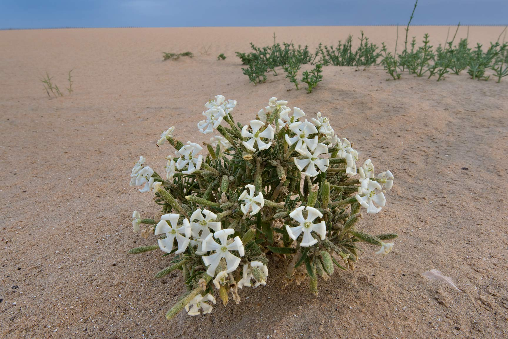 Desert campion (Silene villosa, local name terba...in area of Khashem Al Nekhsh. Qatar