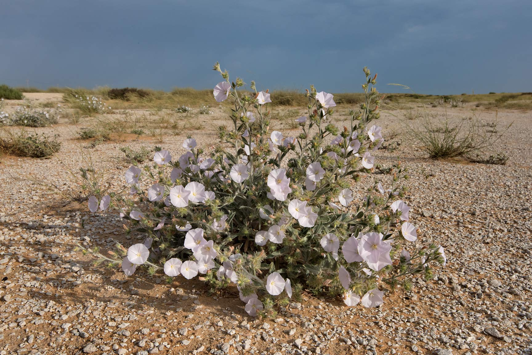 Morning glory (Convolvulus cephalopodus) in bloom...Reserve near Abu Samra. Southern Qatar