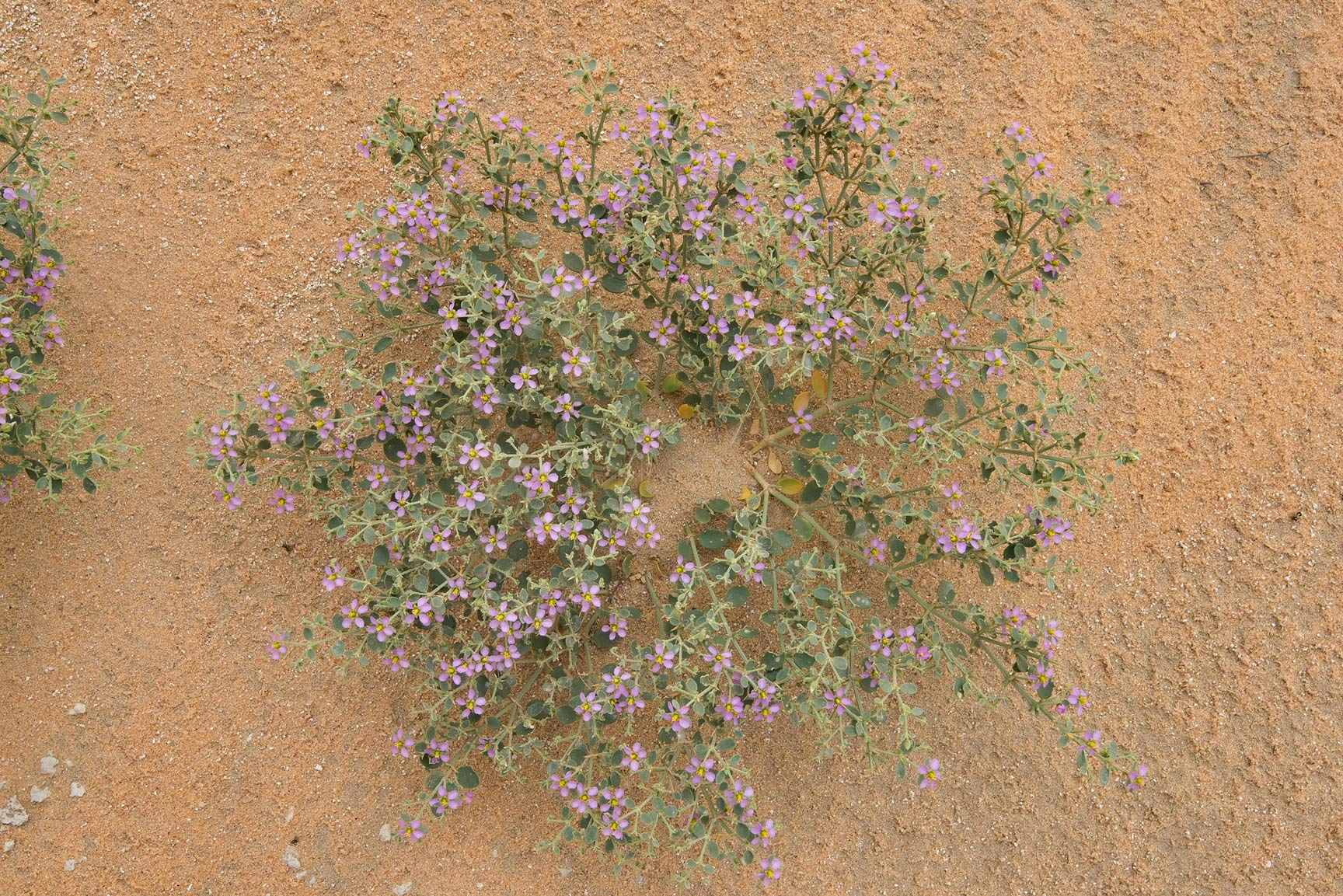 Plant of Fagonia indica on sand dunes in...Reserve near Abu Samra. Southern Qatar