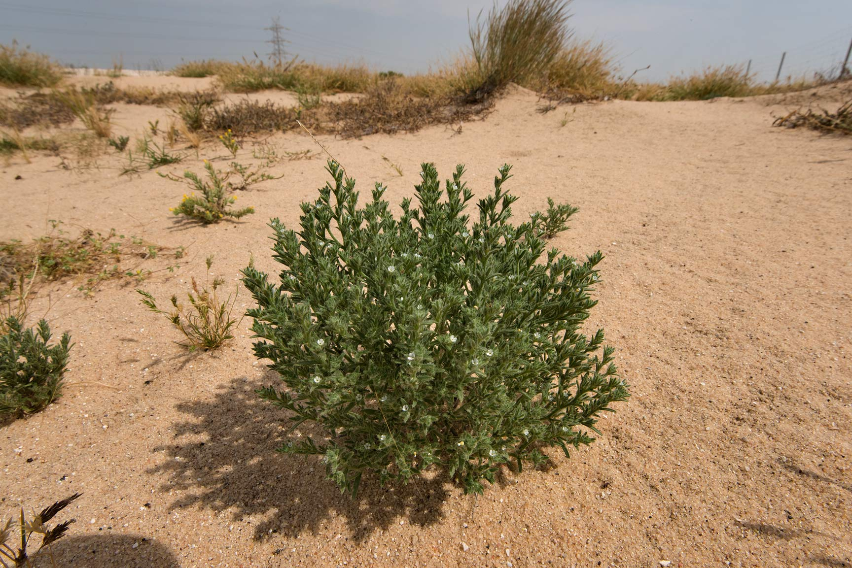 Blooming plant of Ogastemma pusillum (Anchusa...from Khawzan to Al-Jumayliyah. Qatar