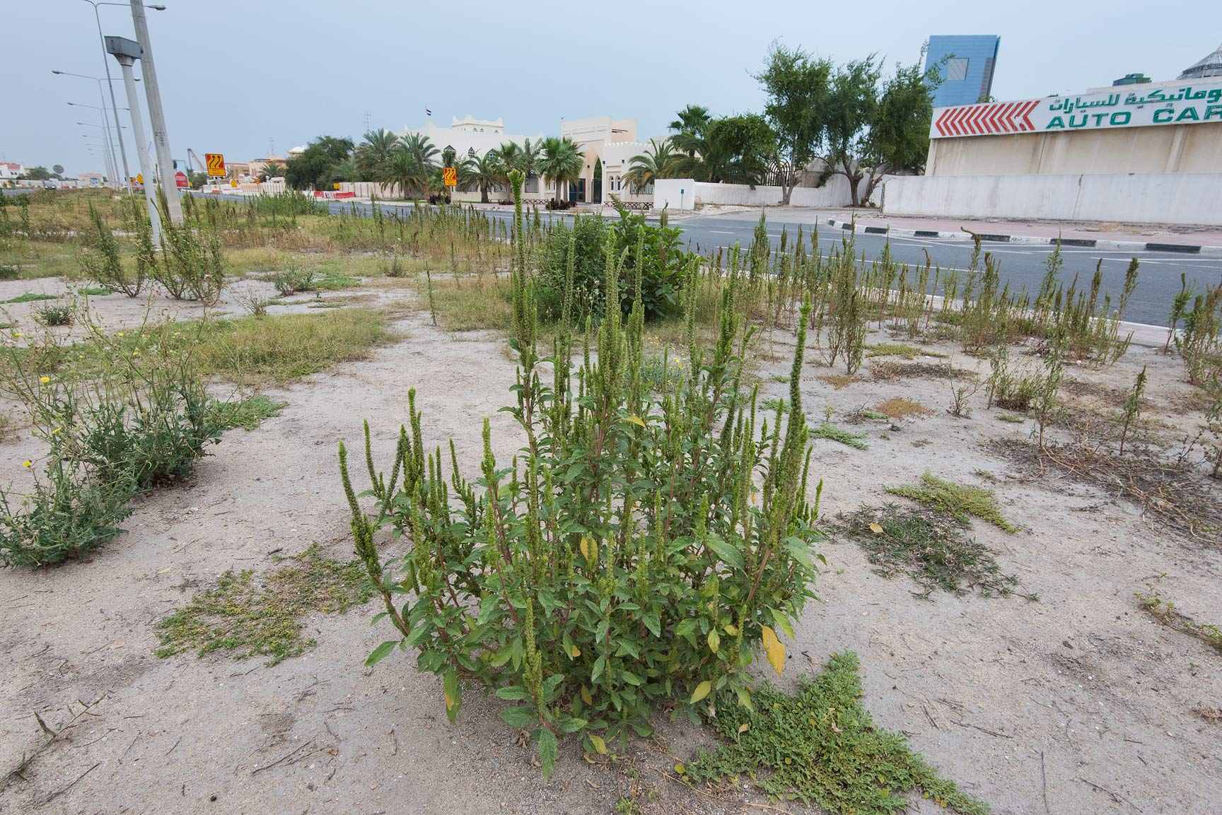 Slender amaranth (Amaranthus viridis) grown on...St. in Onaiza area. Doha, Qatar