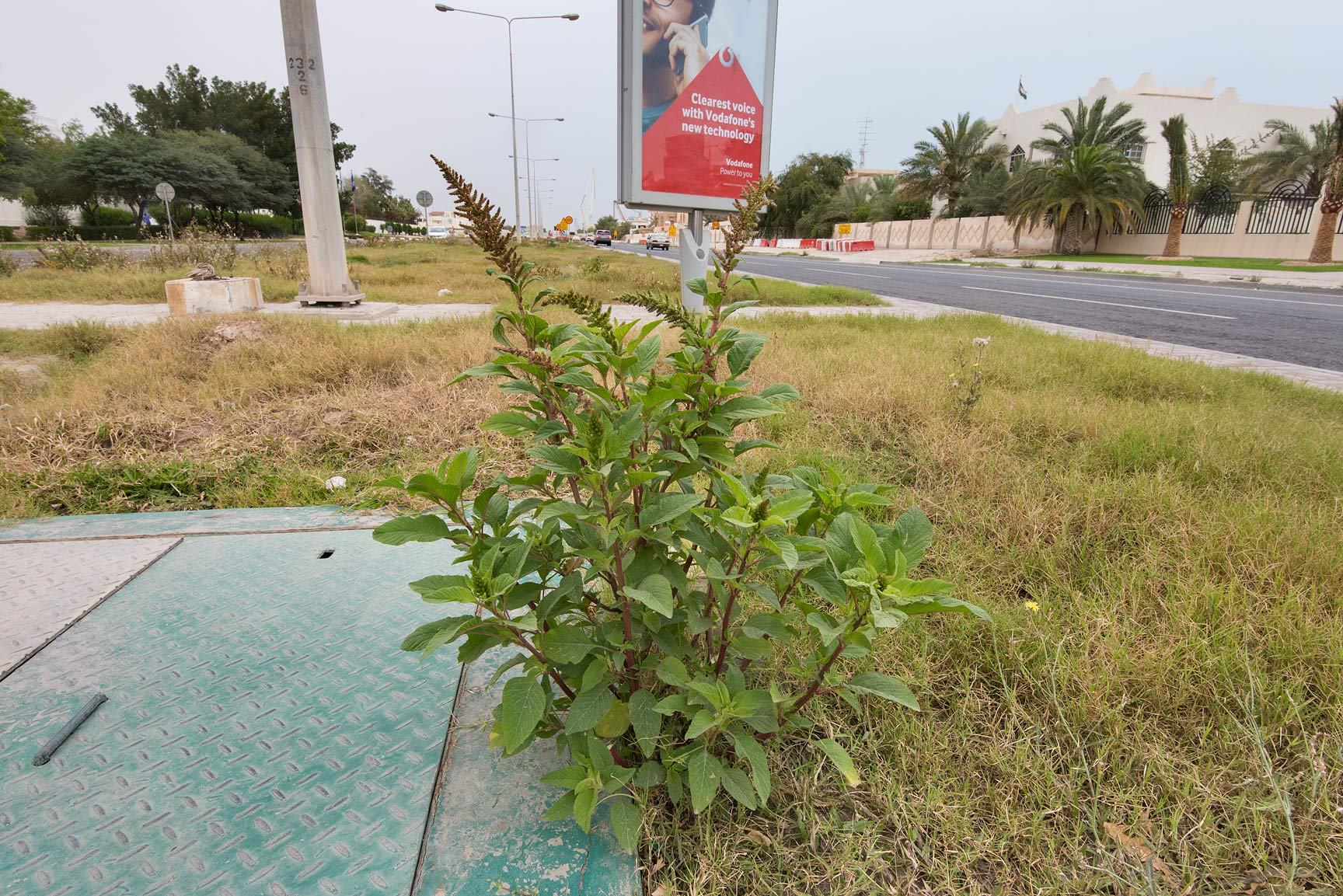 Amaranthus hybridus grown on the median strip of...St. in Onaiza area. Doha, Qatar