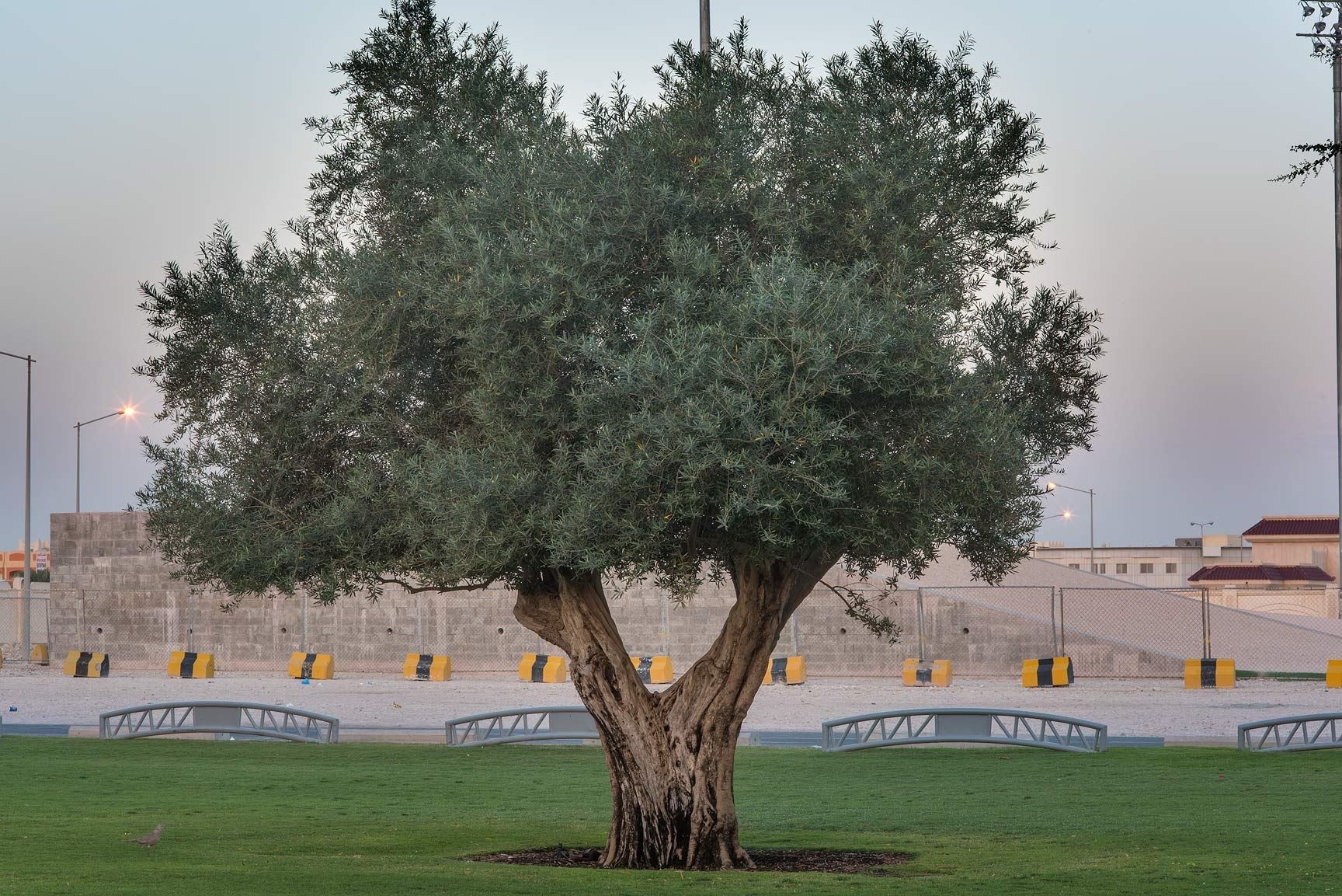 Olive tree (Olea europaea) at morning in Aspire Park. Doha, Qatar