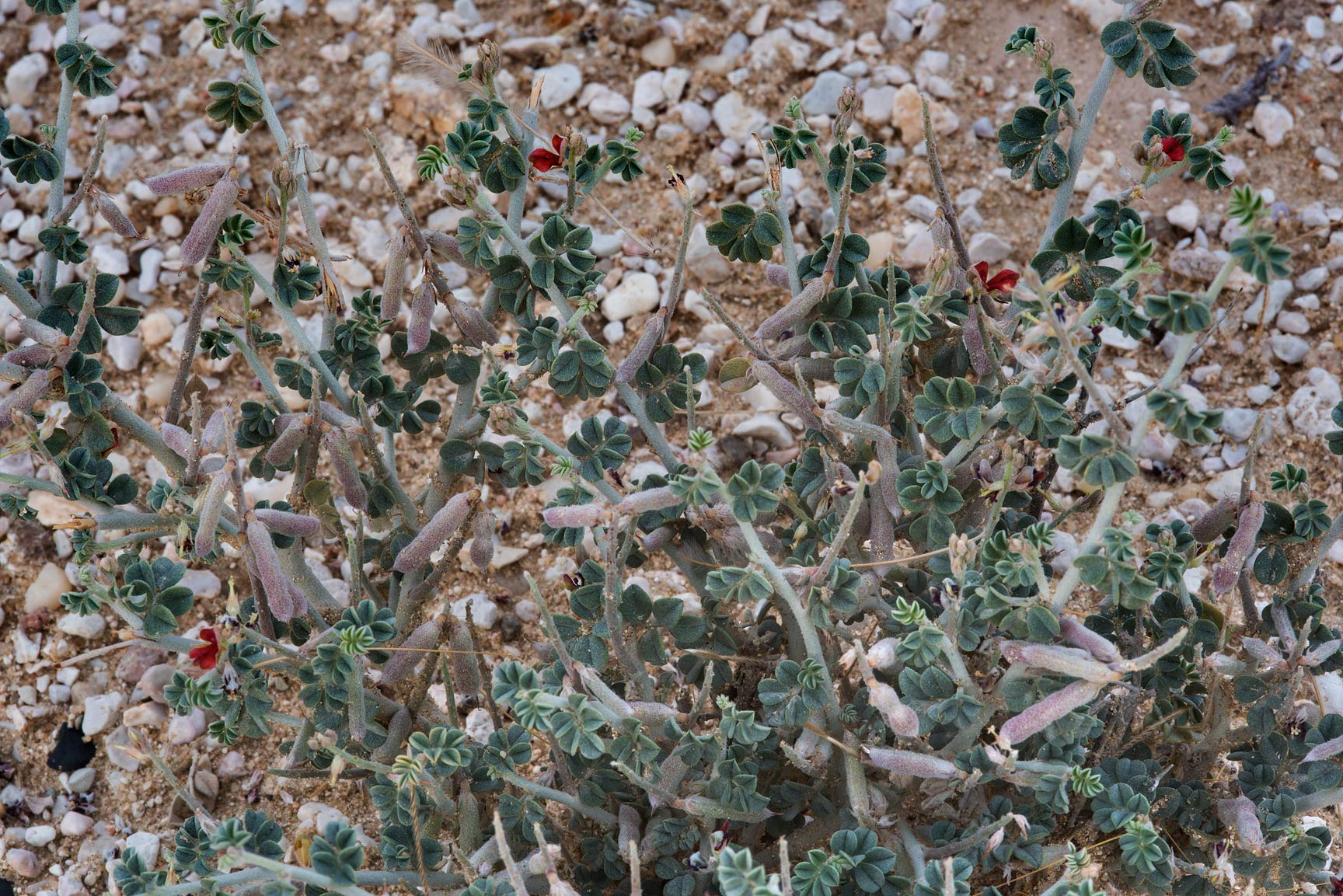 Scarlet pea (Indigofera intricata) with fruits on...Al Kharrarah). Southern Qatar
