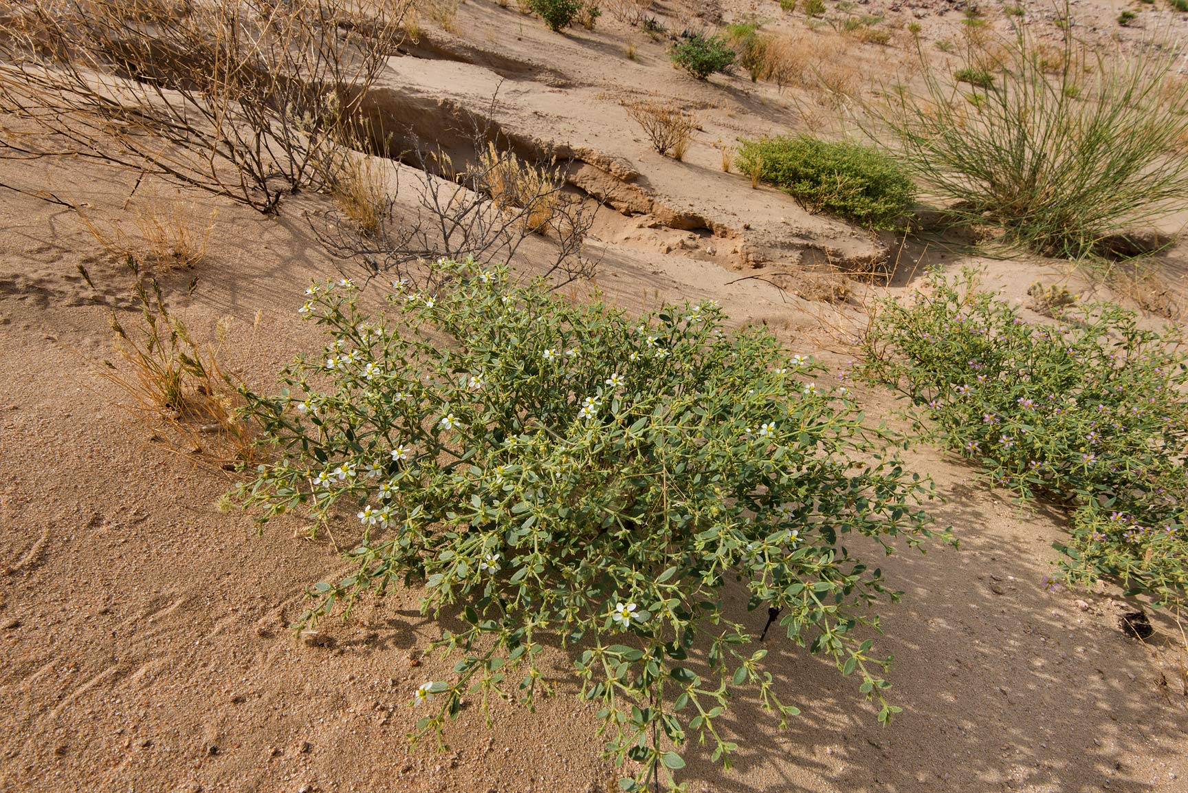 White blooming plant of Fagonia indica on the...Al Kharrarah). Southern Qatar