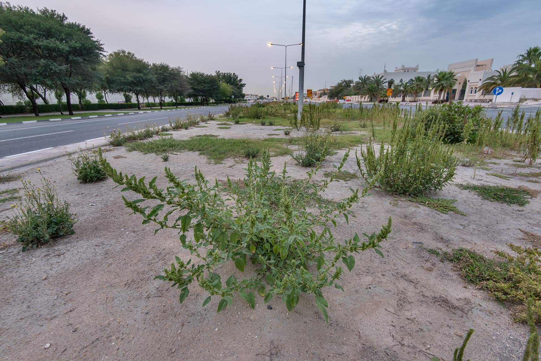Amaranth (Amaranthus hybridus) on a median strip...St. in Onaiza area. Doha, Qatar