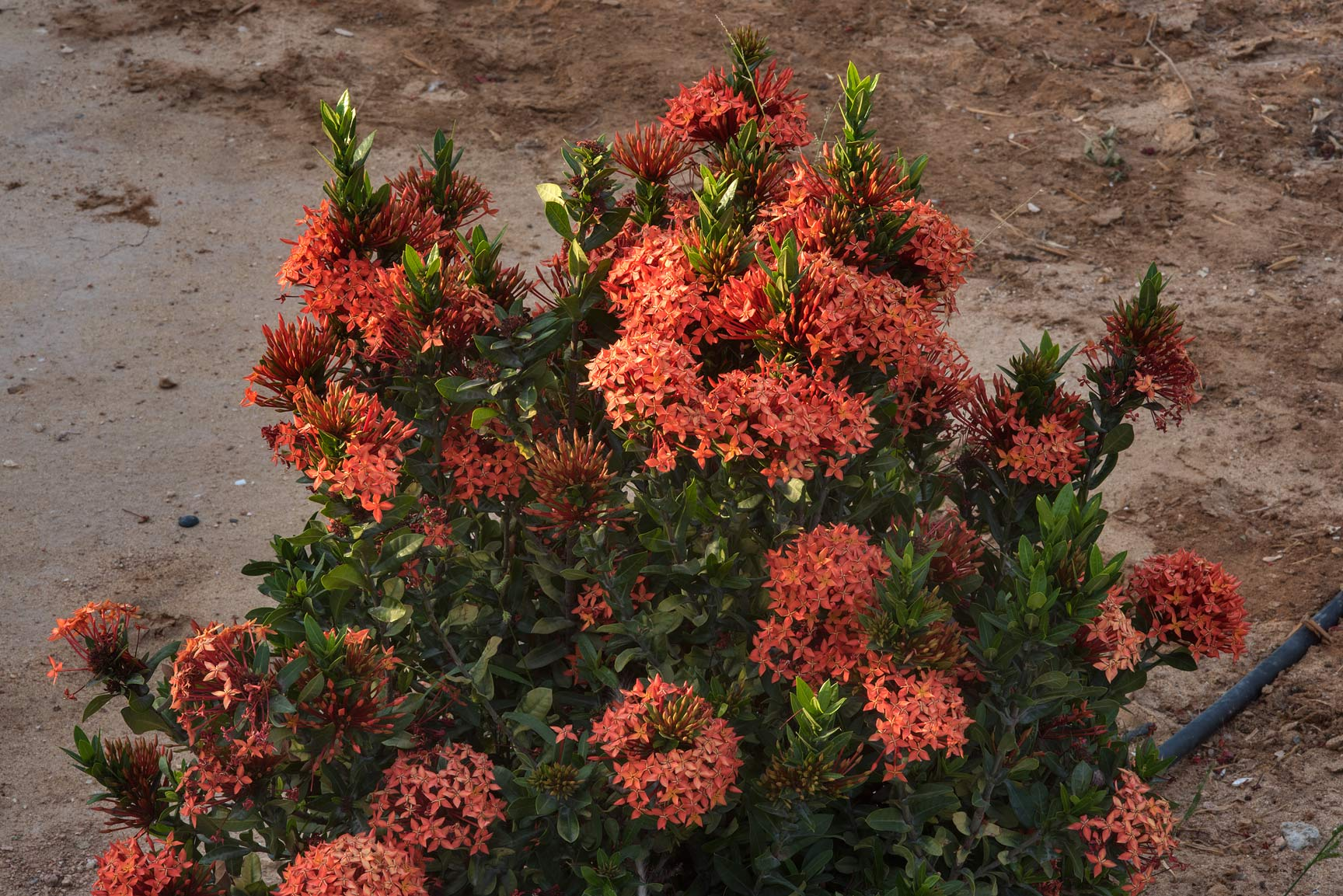 Jungle geranium (Ixora coccinea) planted in a...near a corner with Onaiza. Doha, Qatar
