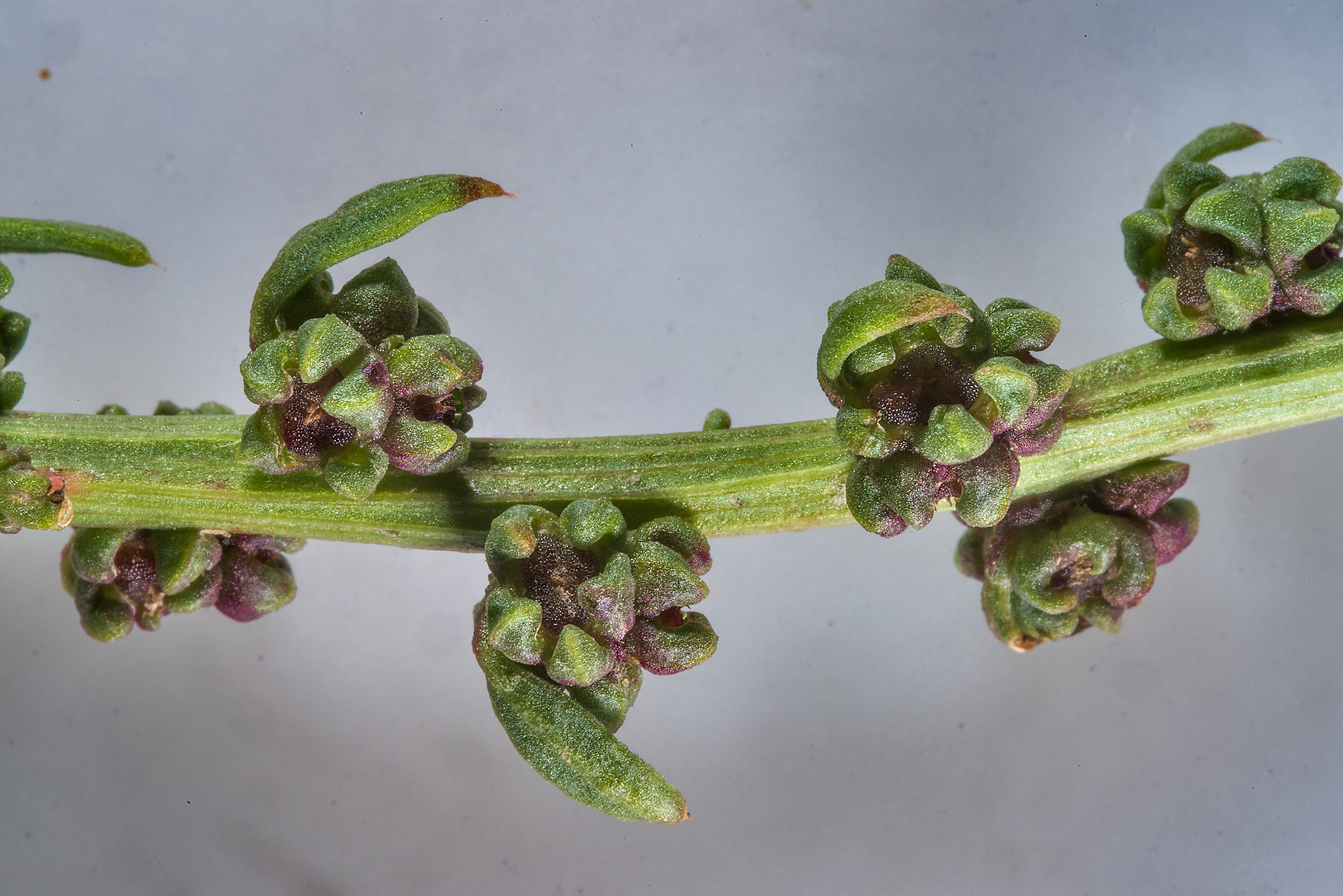 Close up of fruits of sea beet (Beta vulgaris...RAFRS) near Al Zubara Rd.. Qatar