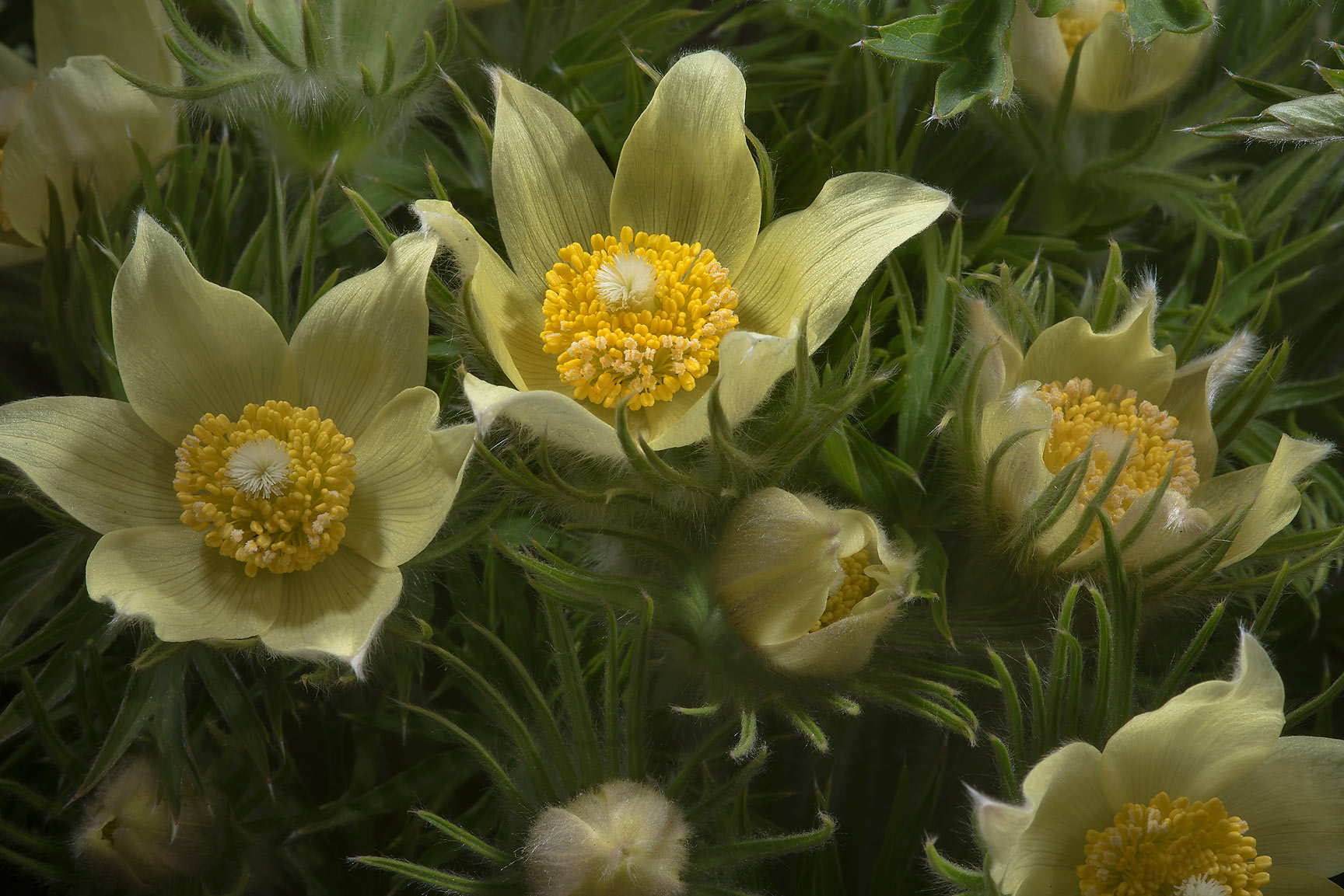Blooming yellow eastern pasque flower (Pulsatilla...Institute. St.Petersburg, Russia