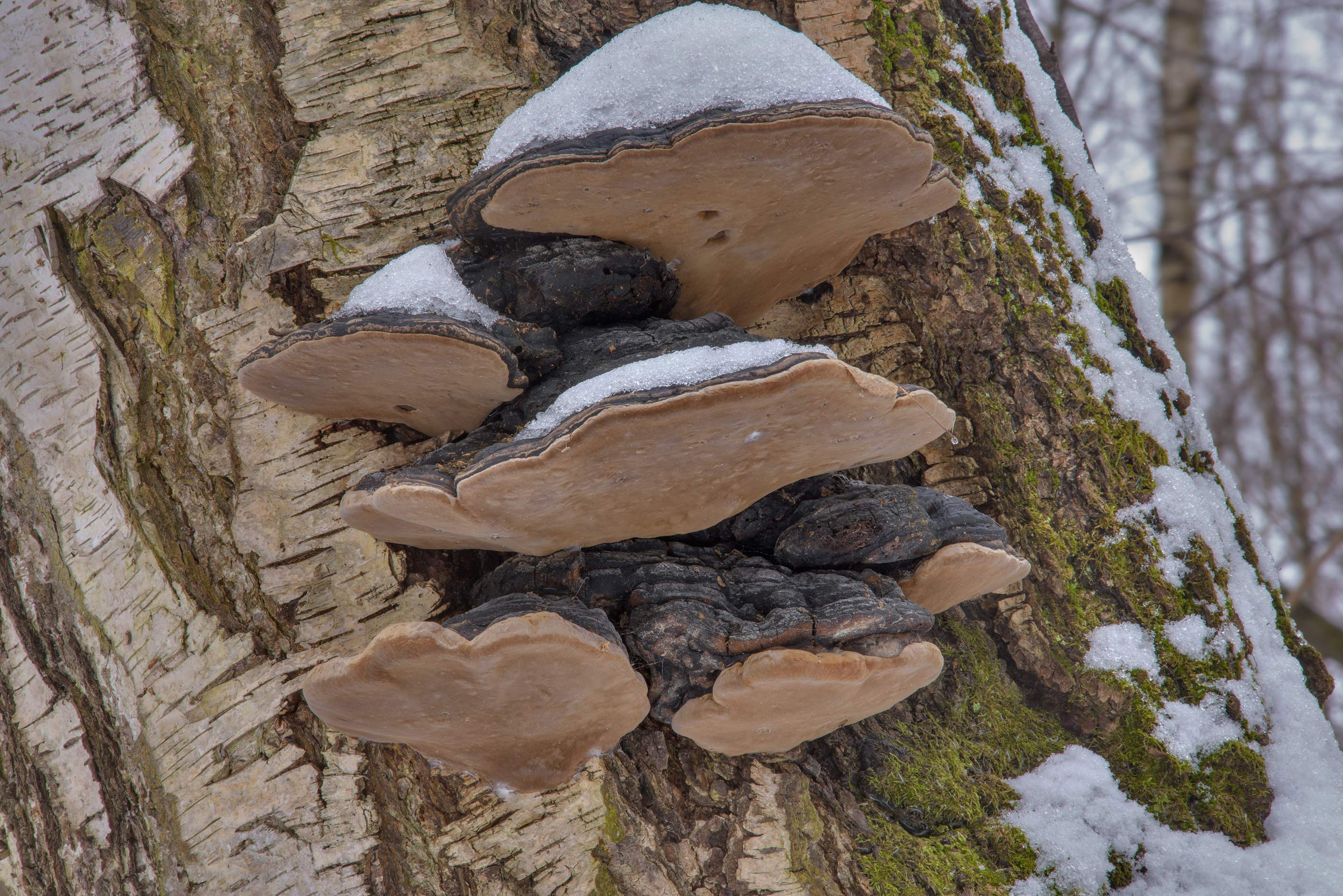 Cluster of willow bracket mushrooms (Phellinus...Nos, west from St.Petersburg. Russia