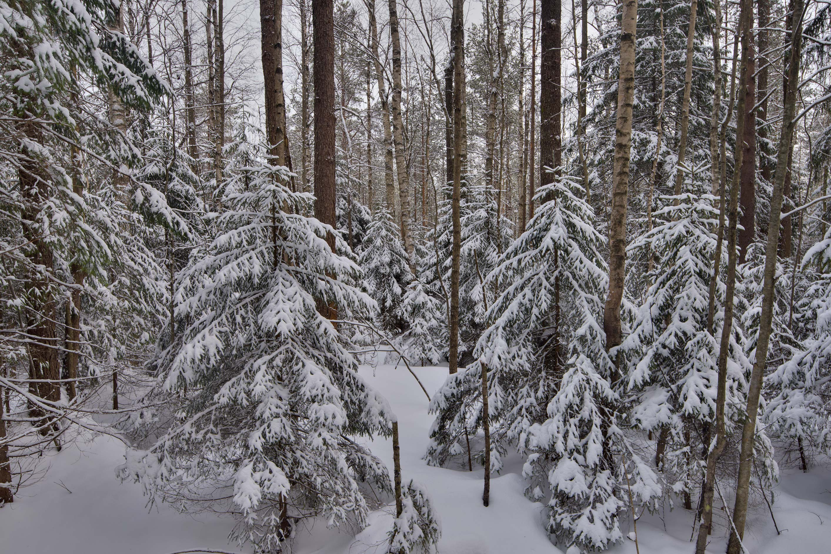 Spruce and birch trees in snow west from...north from St.Petersburg. Russia