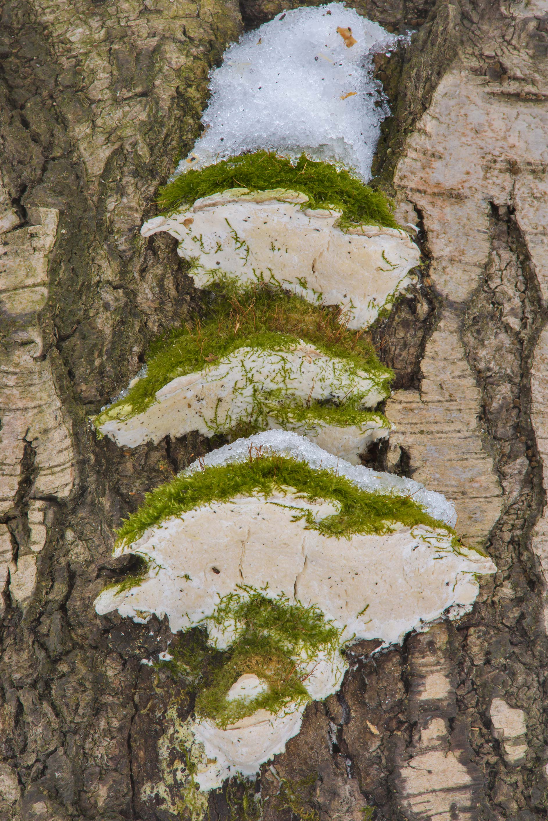 Mossy maple polypore mushrooms (Oxyporus...in Udelny Park. St.Petersburg, Russia