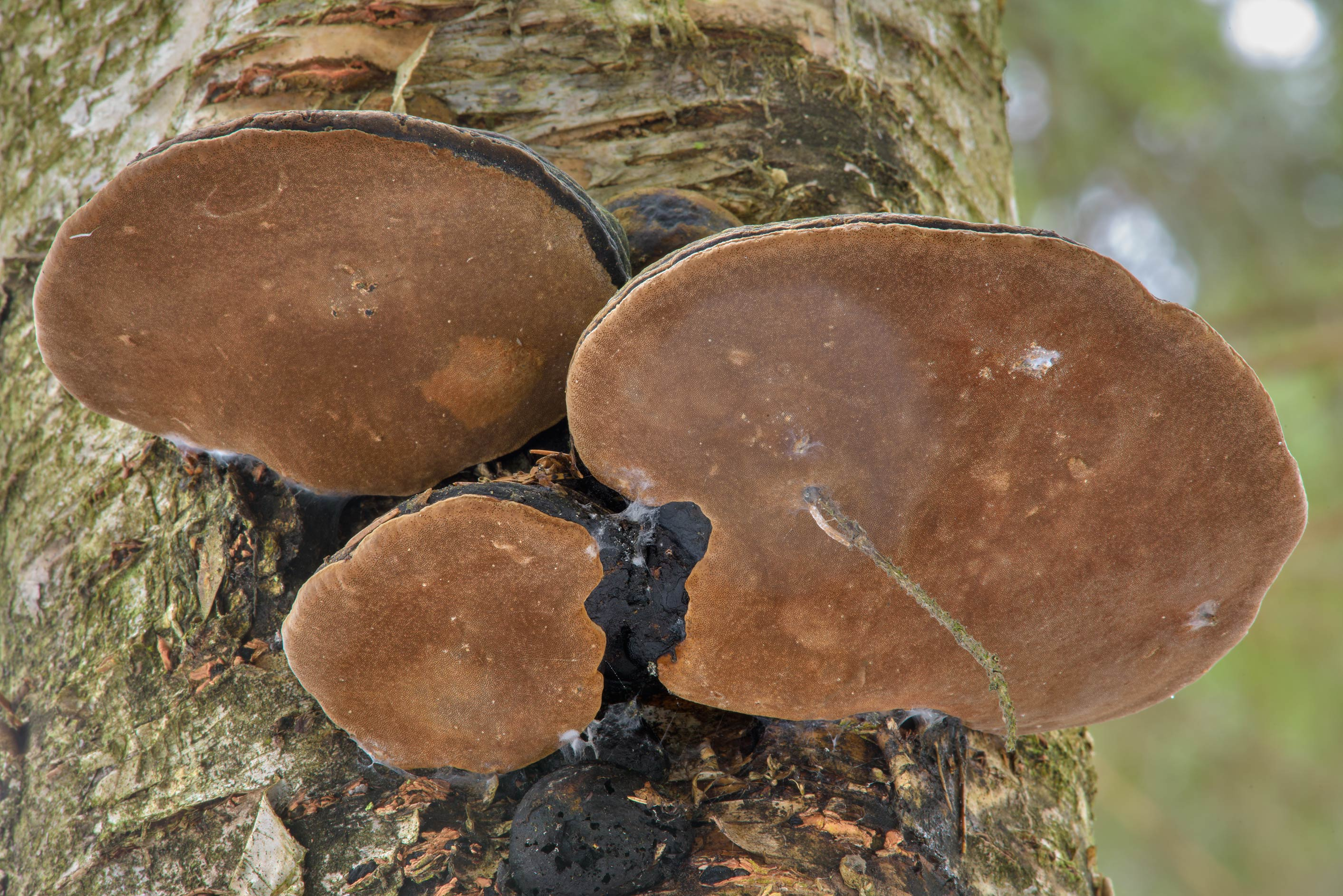 False conk mushrooms (Phellinus igniarius) in...Pesochny near St.Petersburg. Russia