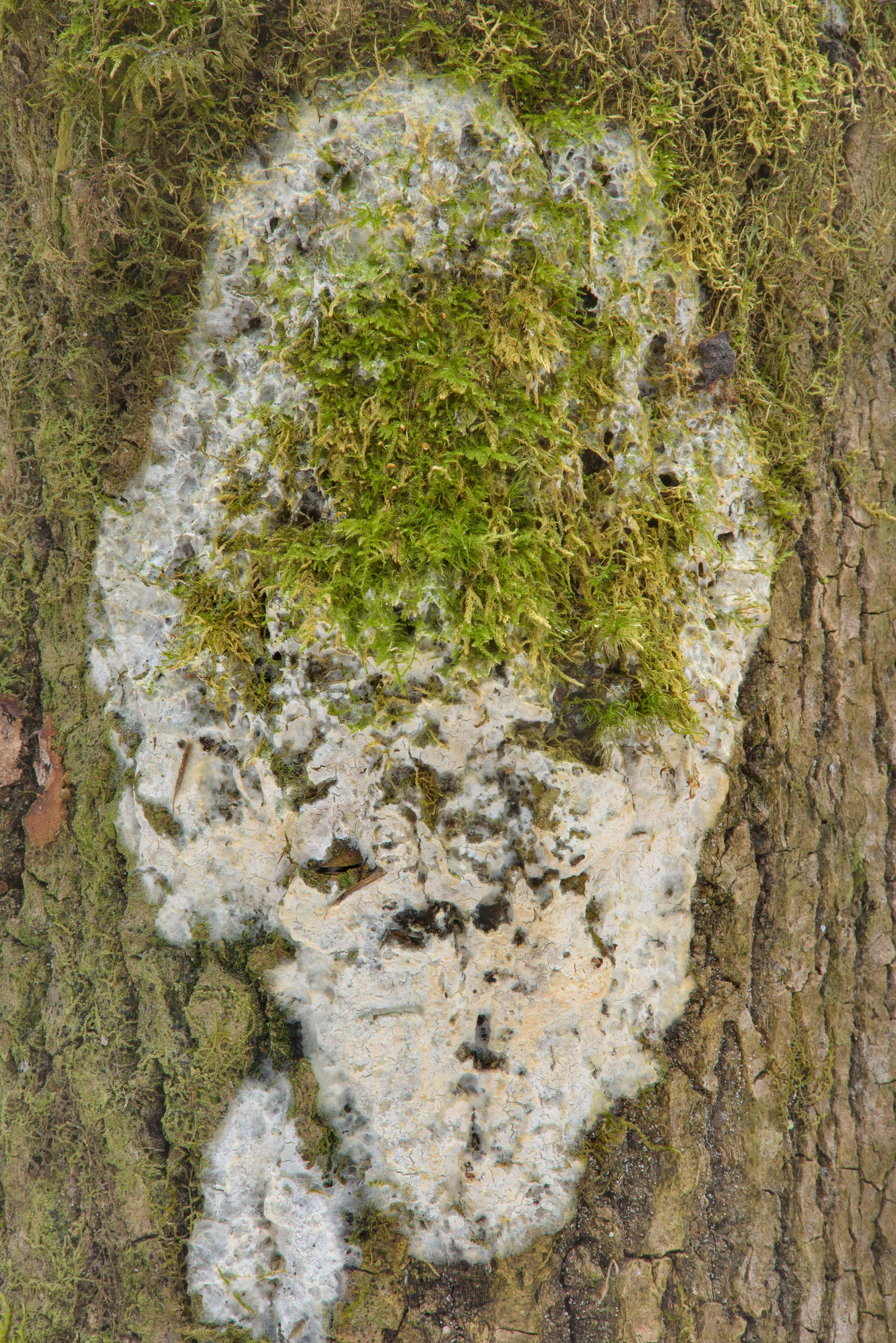 Patch of a whitish corticioid fungus on a tree...Pesochny near St.Petersburg. Russia