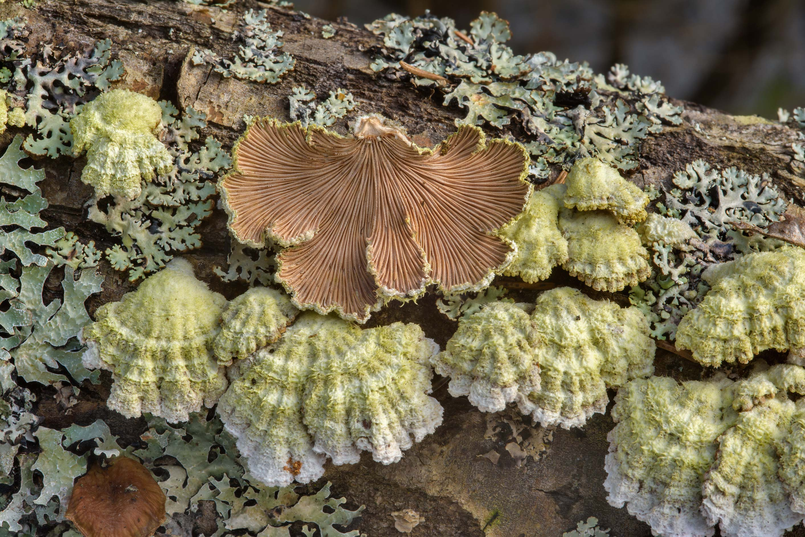 Gills of split gill fungus Schizophyllum commune...north from St.Petersburg. Russia