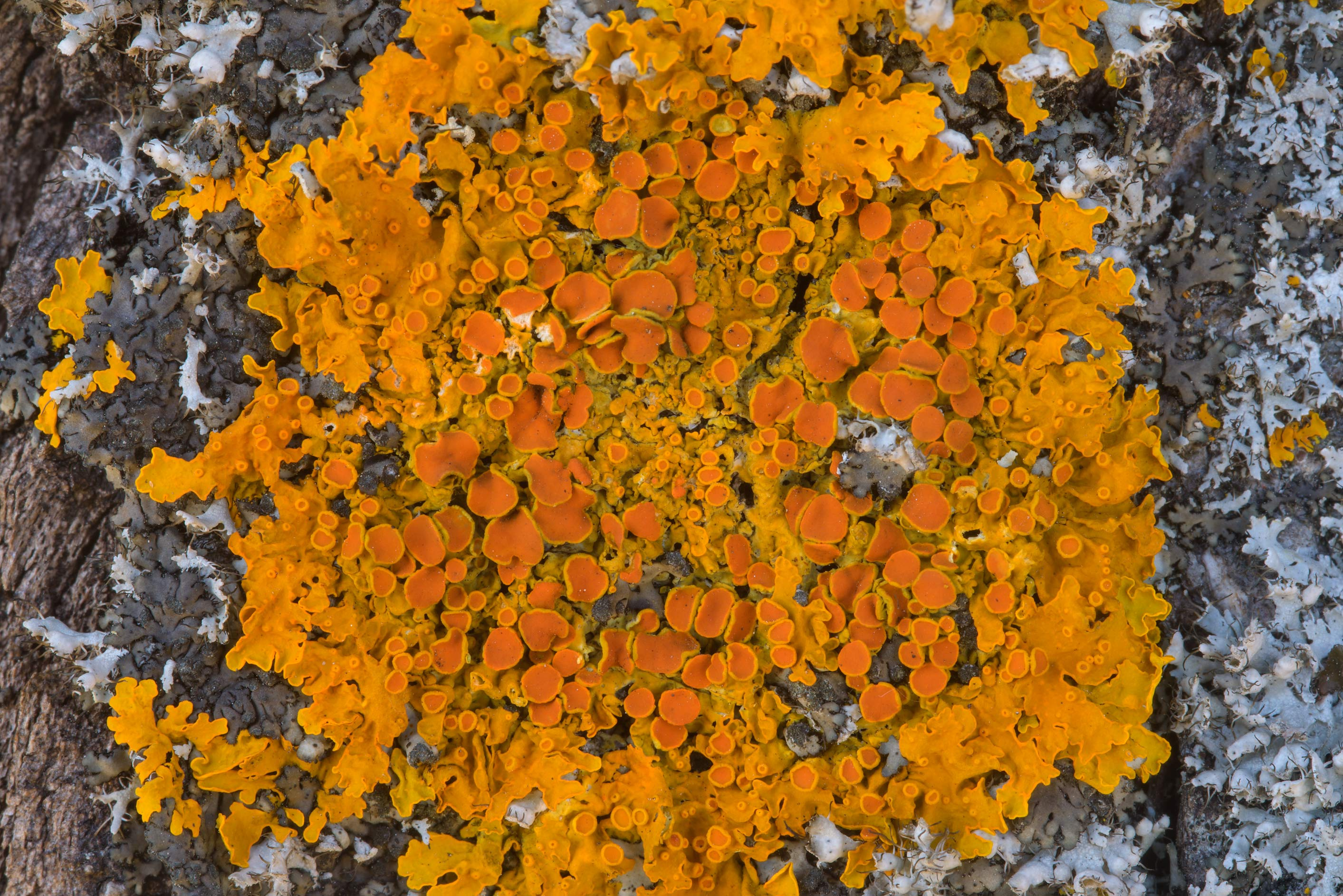 Golden lichen Xanthoria parietina on a birch near...west from St.Petersburg. Russia