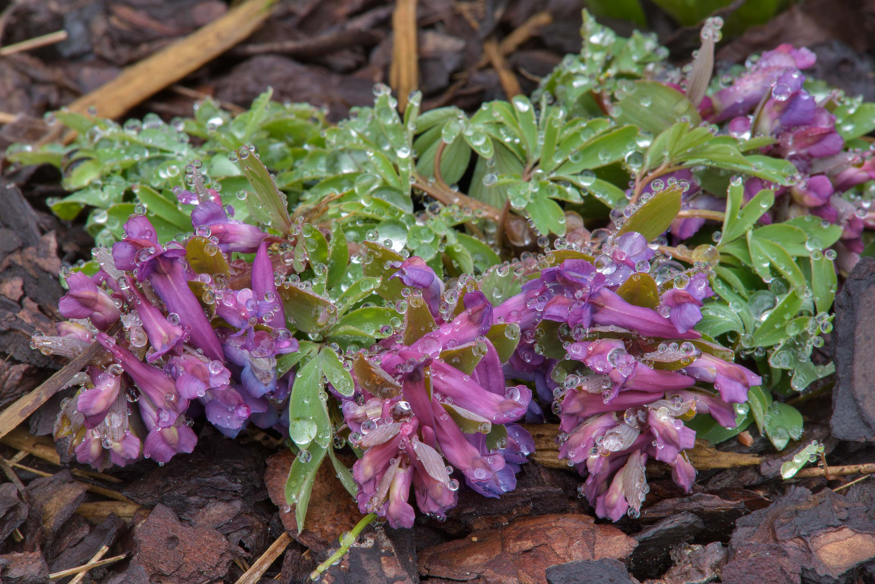Spring fumewort (Corydalis bulbosa) with water...Institute. St.Petersburg, Russia