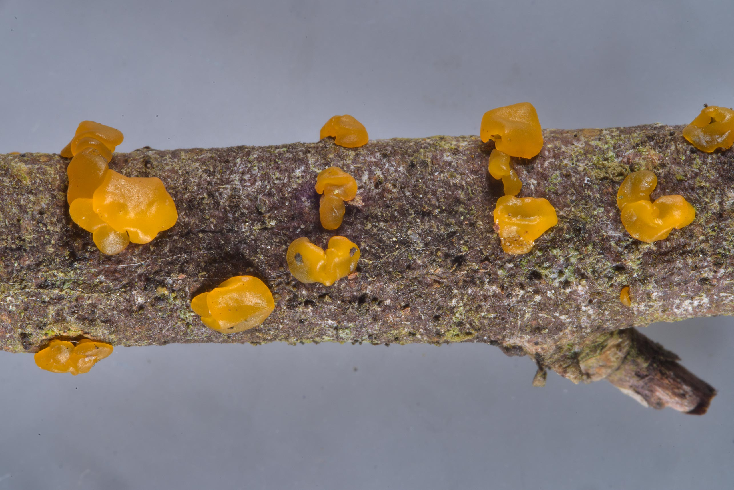 Jelly mushrooms Dacrymyces lacrymalis on a twig...north-west from St.Petersburg. Russia