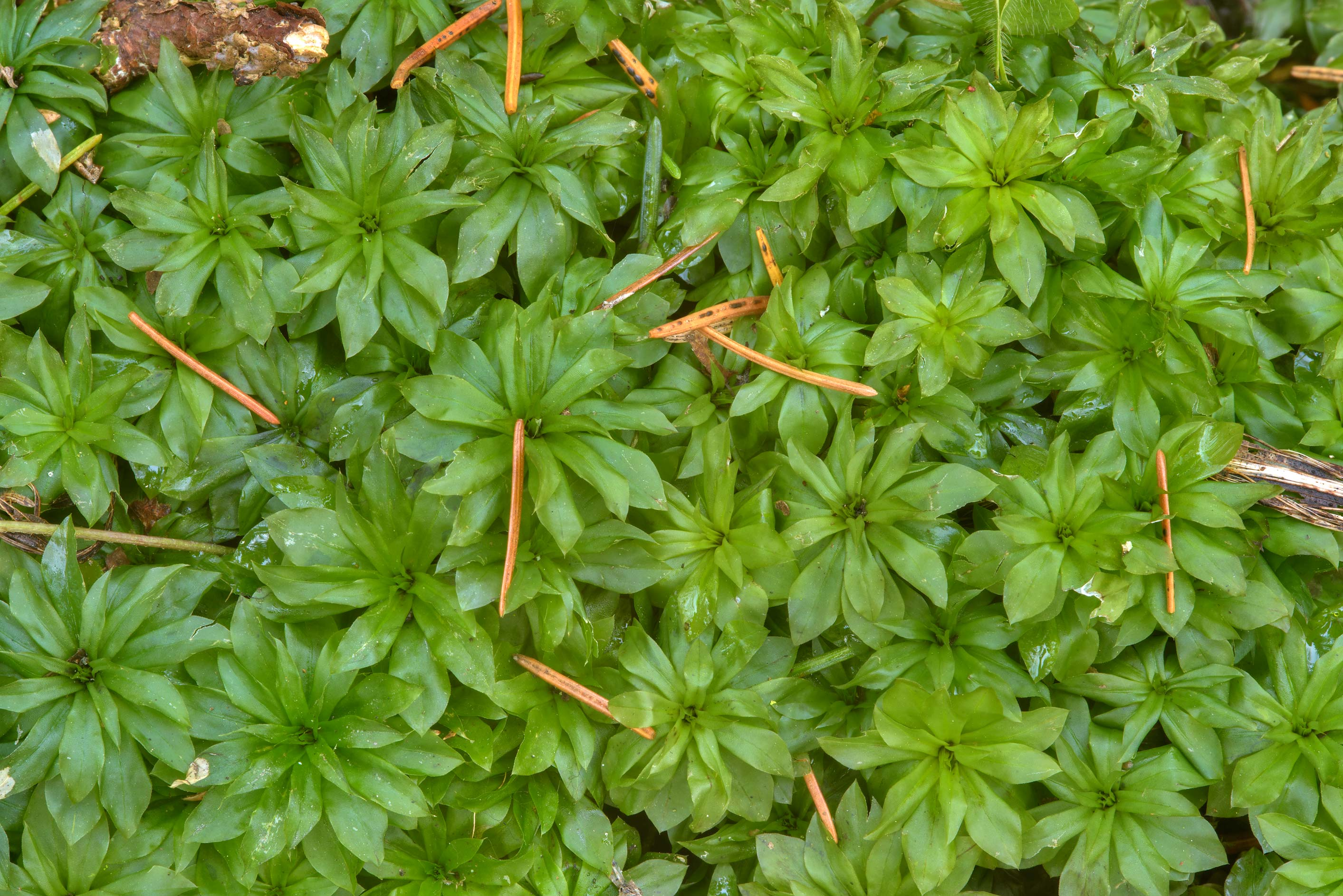 Rose-moss (Rhodobryum roseum) in area of Blizhnie...Nos, west from St.Petersburg. Russia