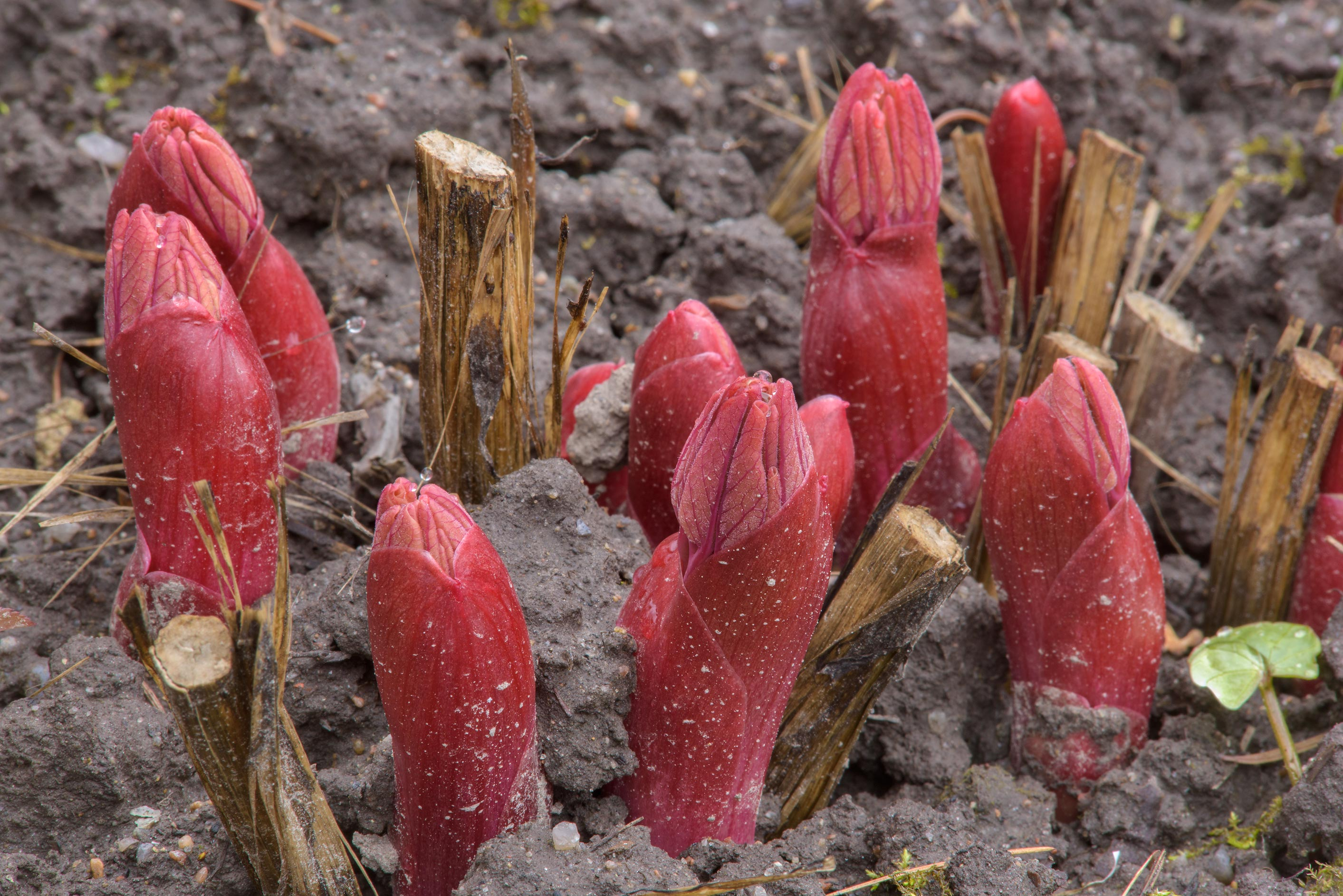 Emerging red peony shoots in Botanic Gardens of...Institute. St.Petersburg, Russia