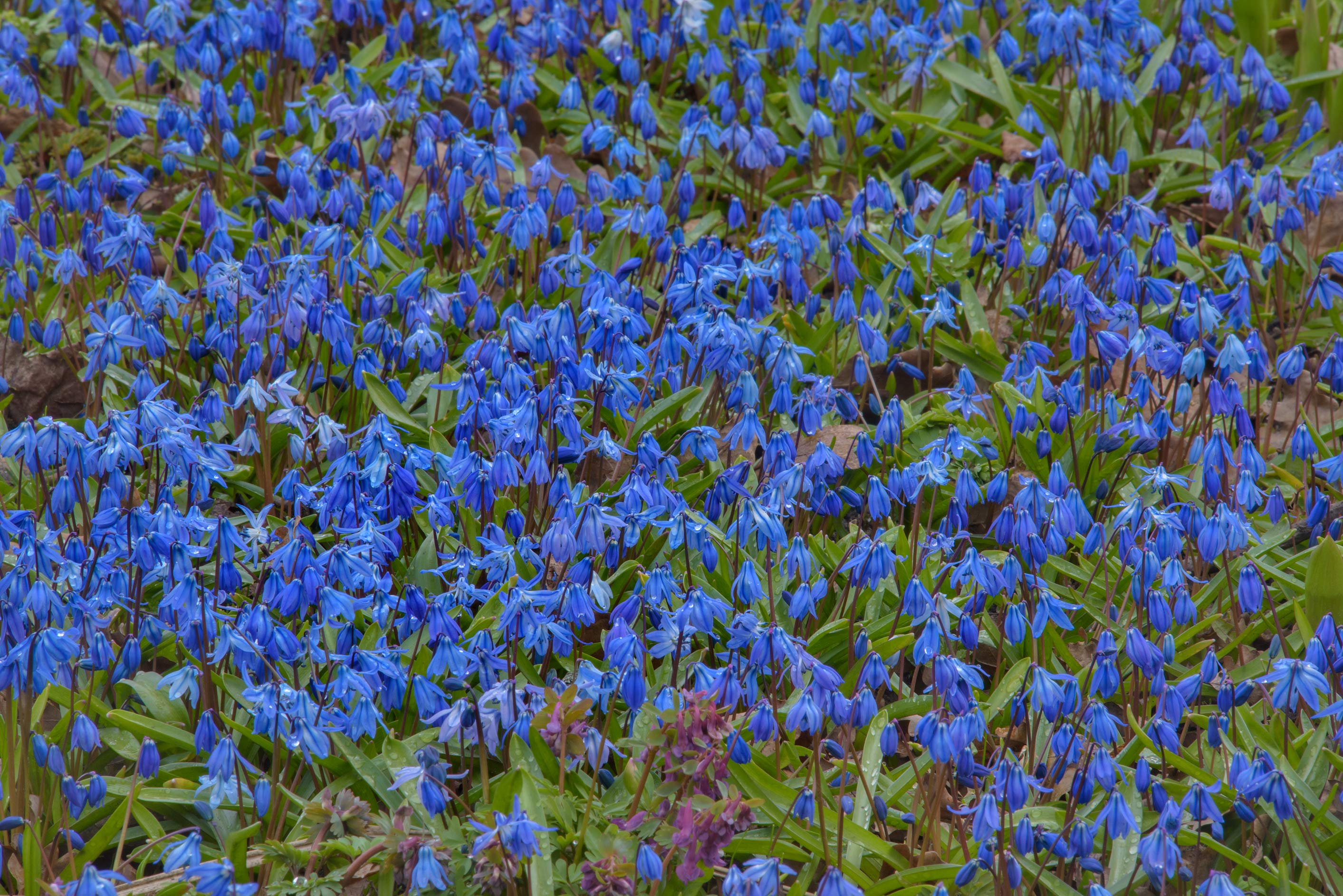 Field of blue flowers of squill (Scilla armena...Institute. St.Petersburg, Russia