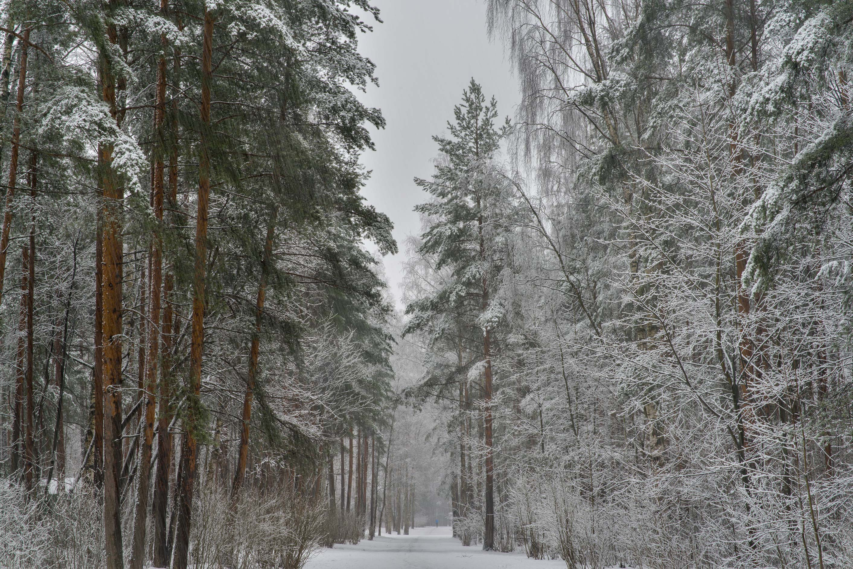 Road and pines in Sosnovka Park. St.Petersburg, Russia