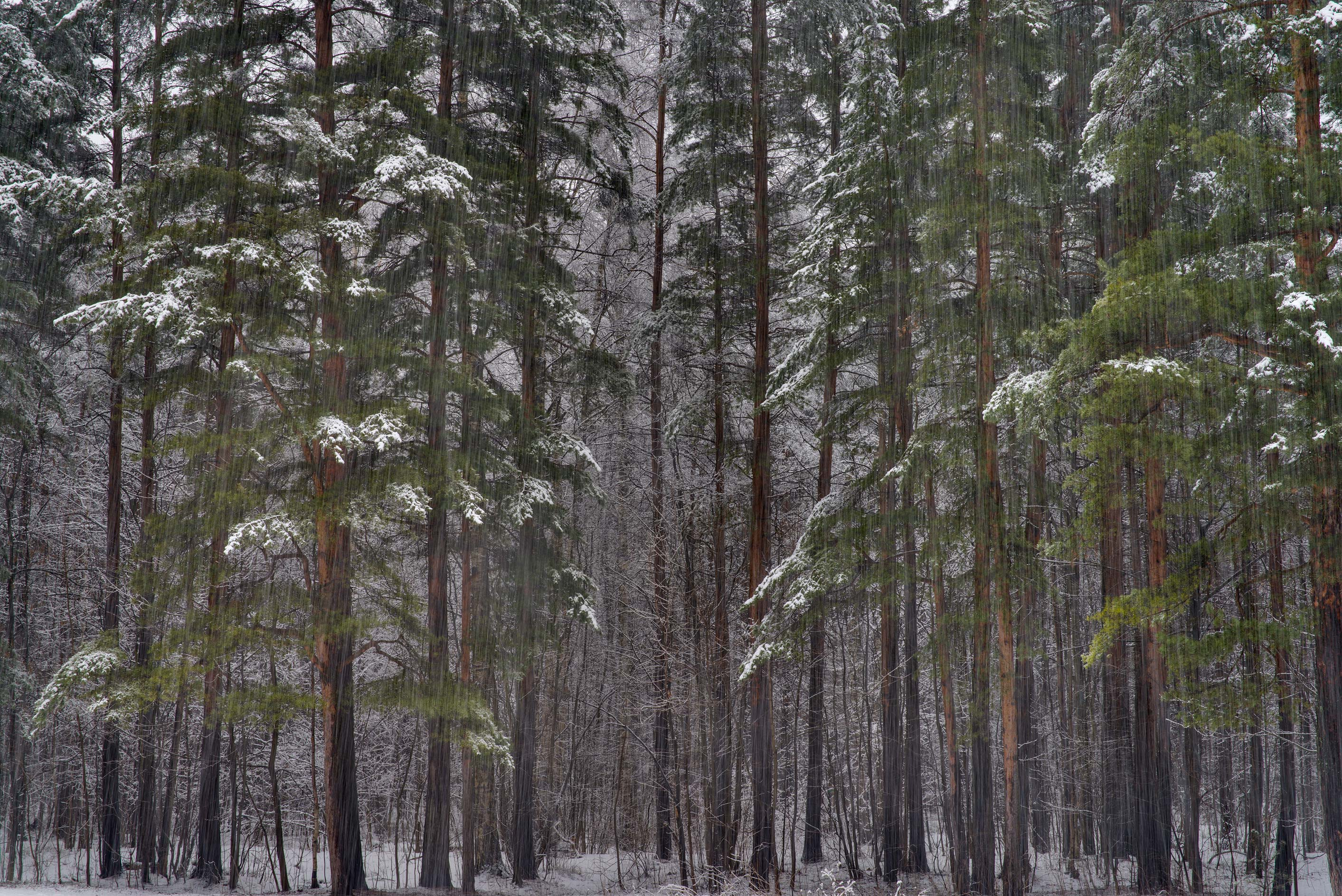 Pines at snowfall in Sosnovka Park. St.Petersburg, Russia