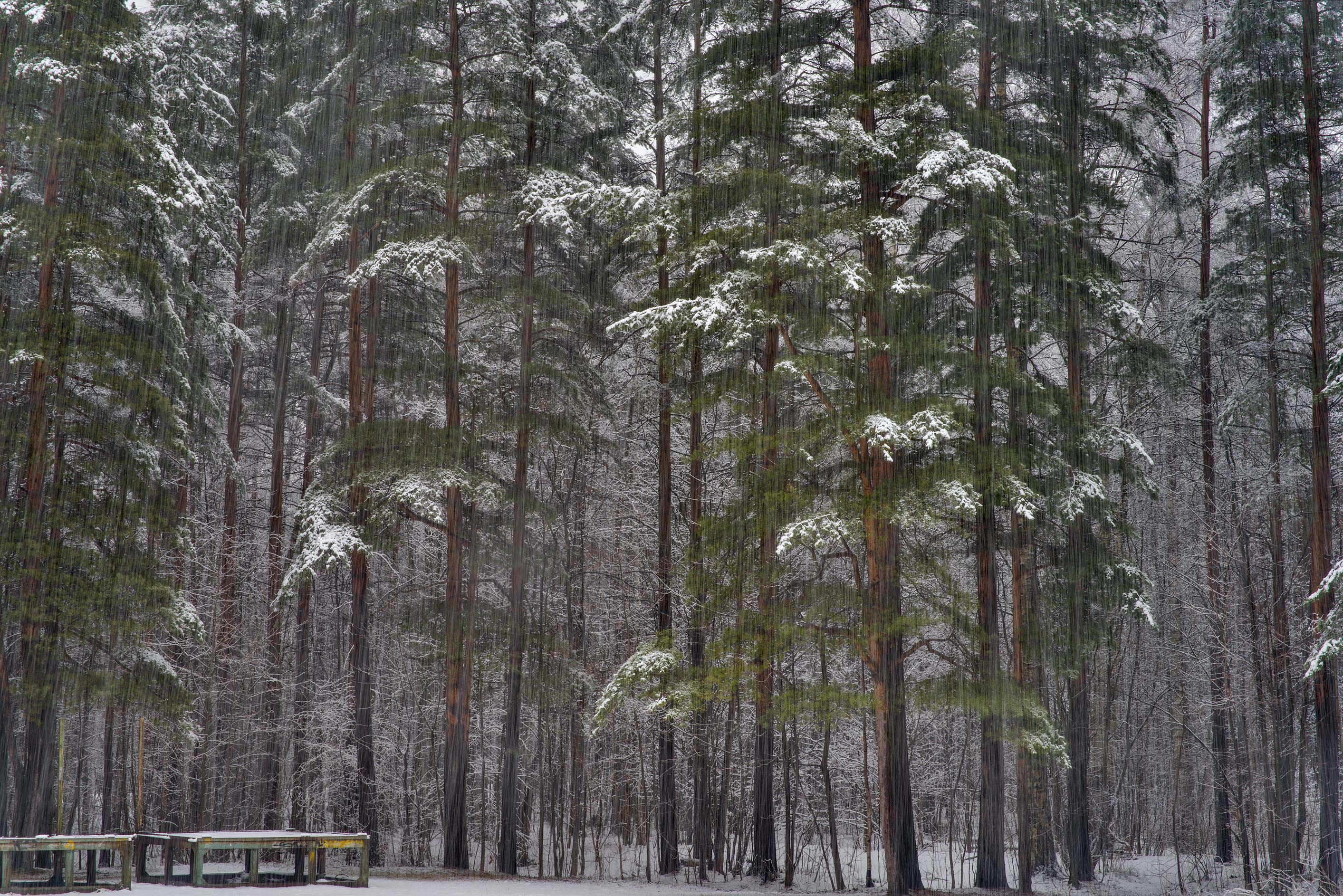 Pine forest at snowfall in Sosnovka Park. St.Petersburg, Russia